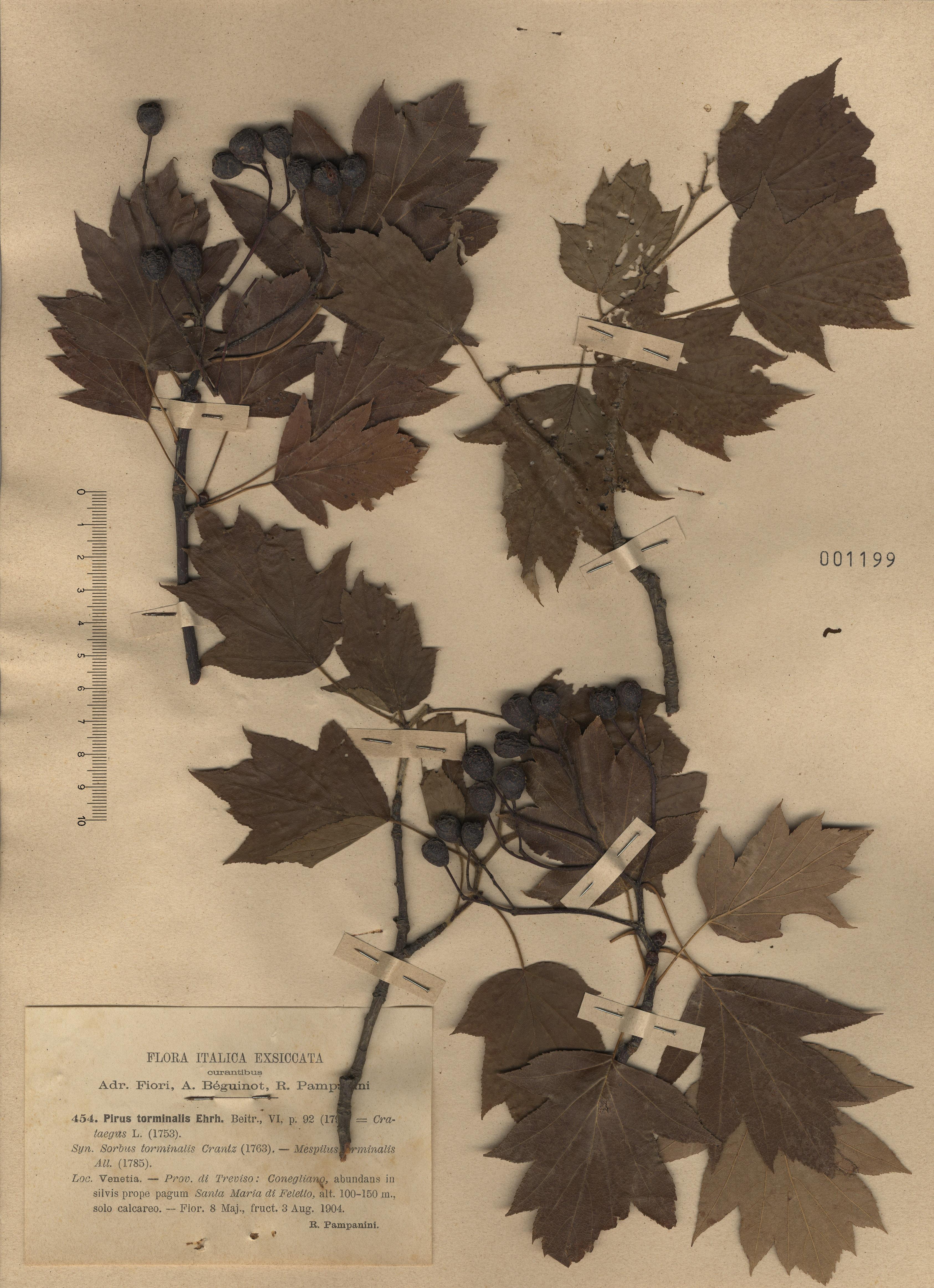© Hortus Botanicus Catinensis - Herb. sheet 001199<br>