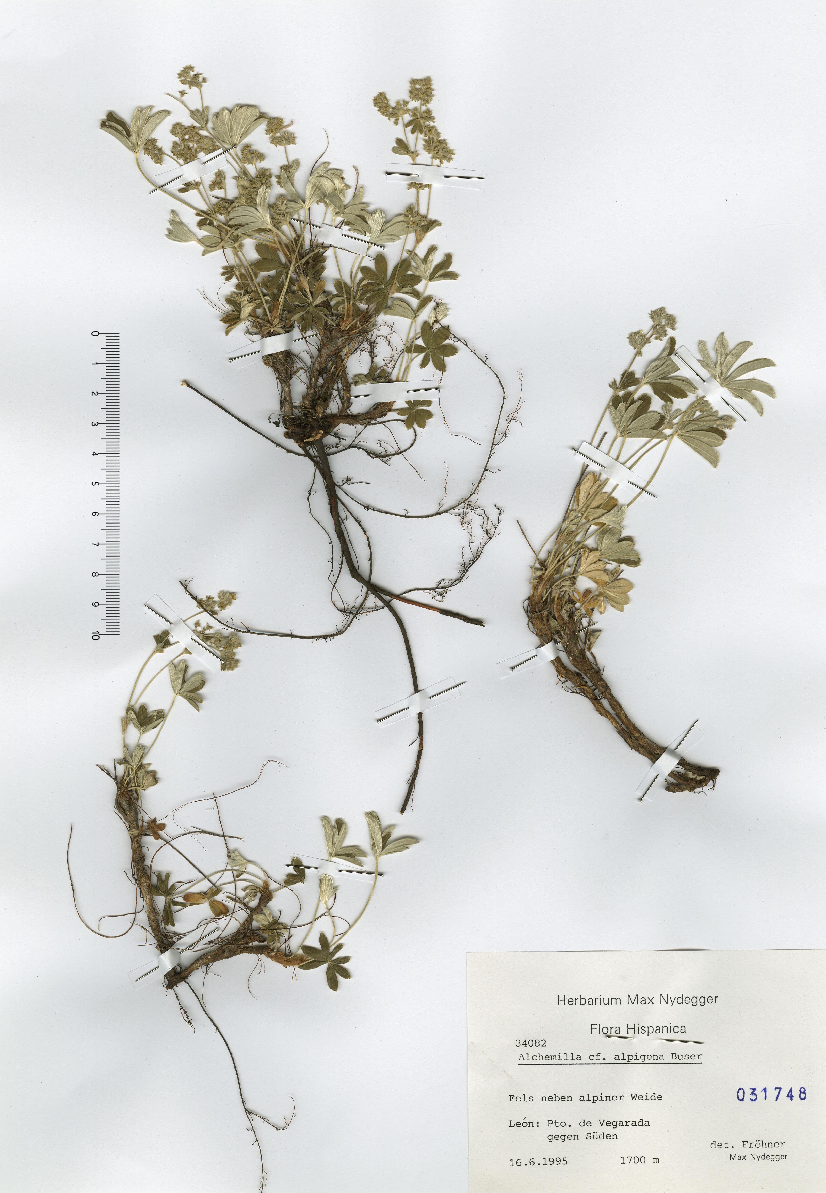 © Hortus Botanicus Catinensis - Herb. sheet 031748<br>