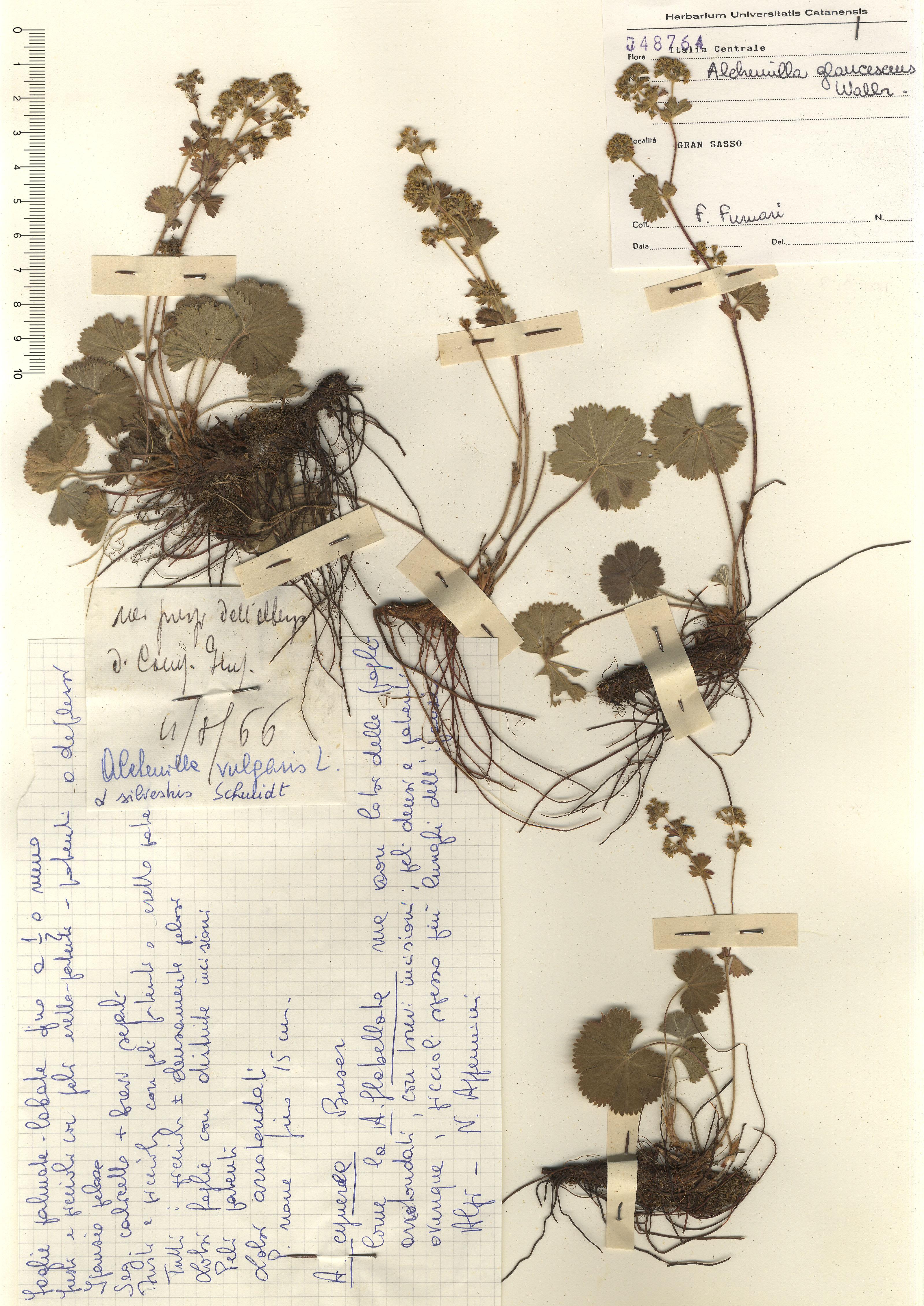 © Hortus Botanicus Catinensis - Herb. sheet 048764<br>