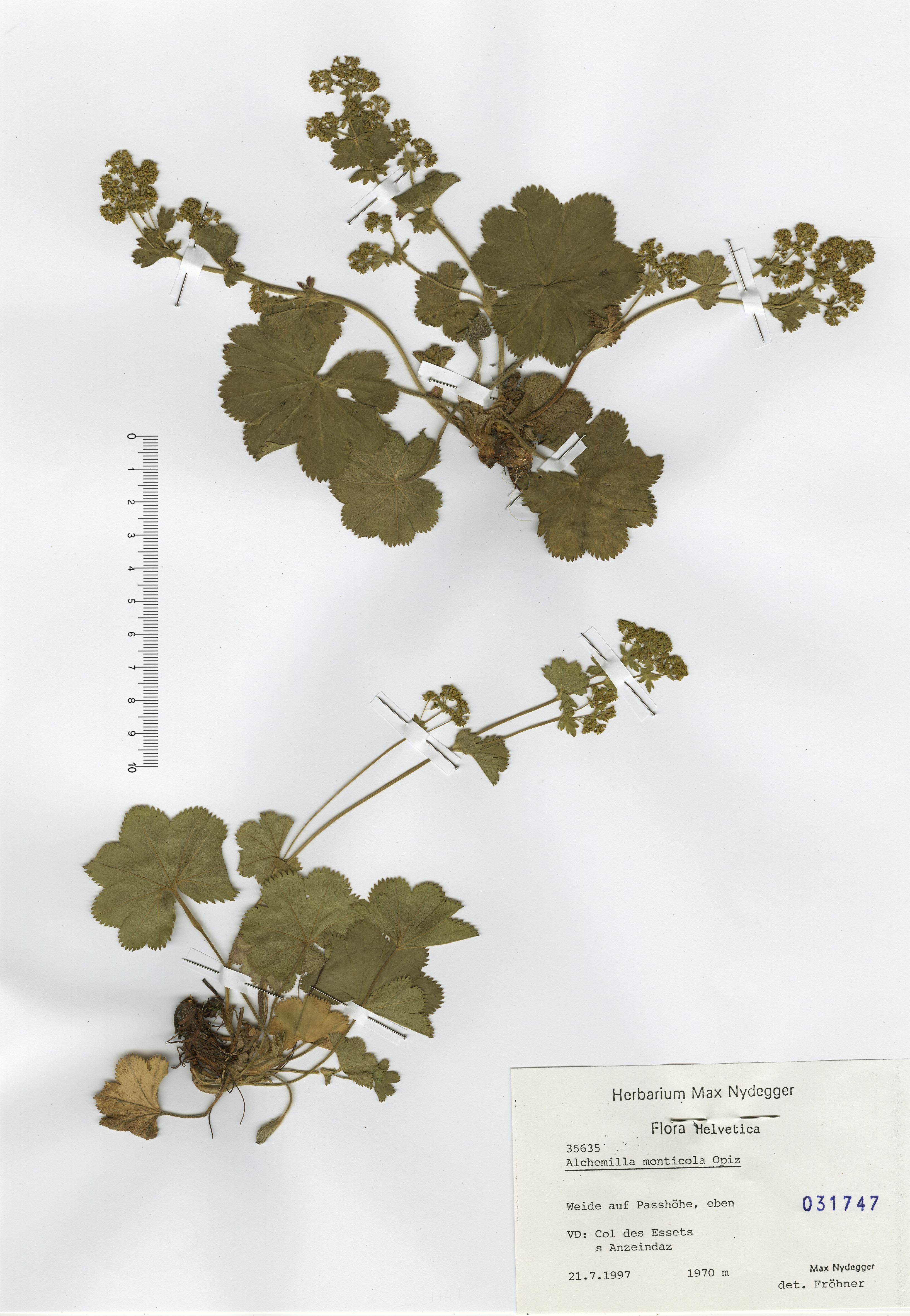 © Hortus Botanicus Catinensis - Herb. sheet 031747<br>
