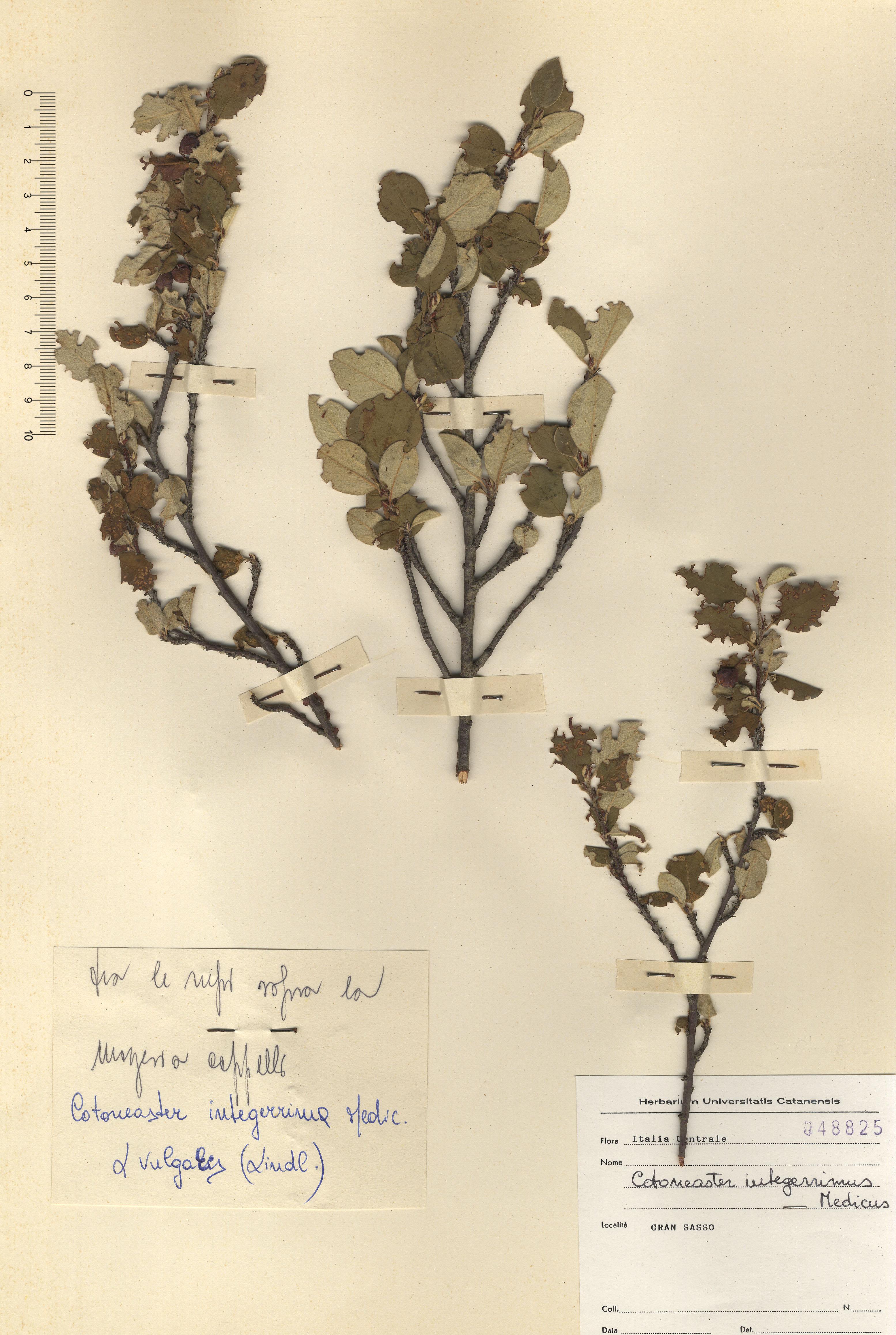 © Hortus Botanicus Catinensis - Herb. sheet 048825<br>