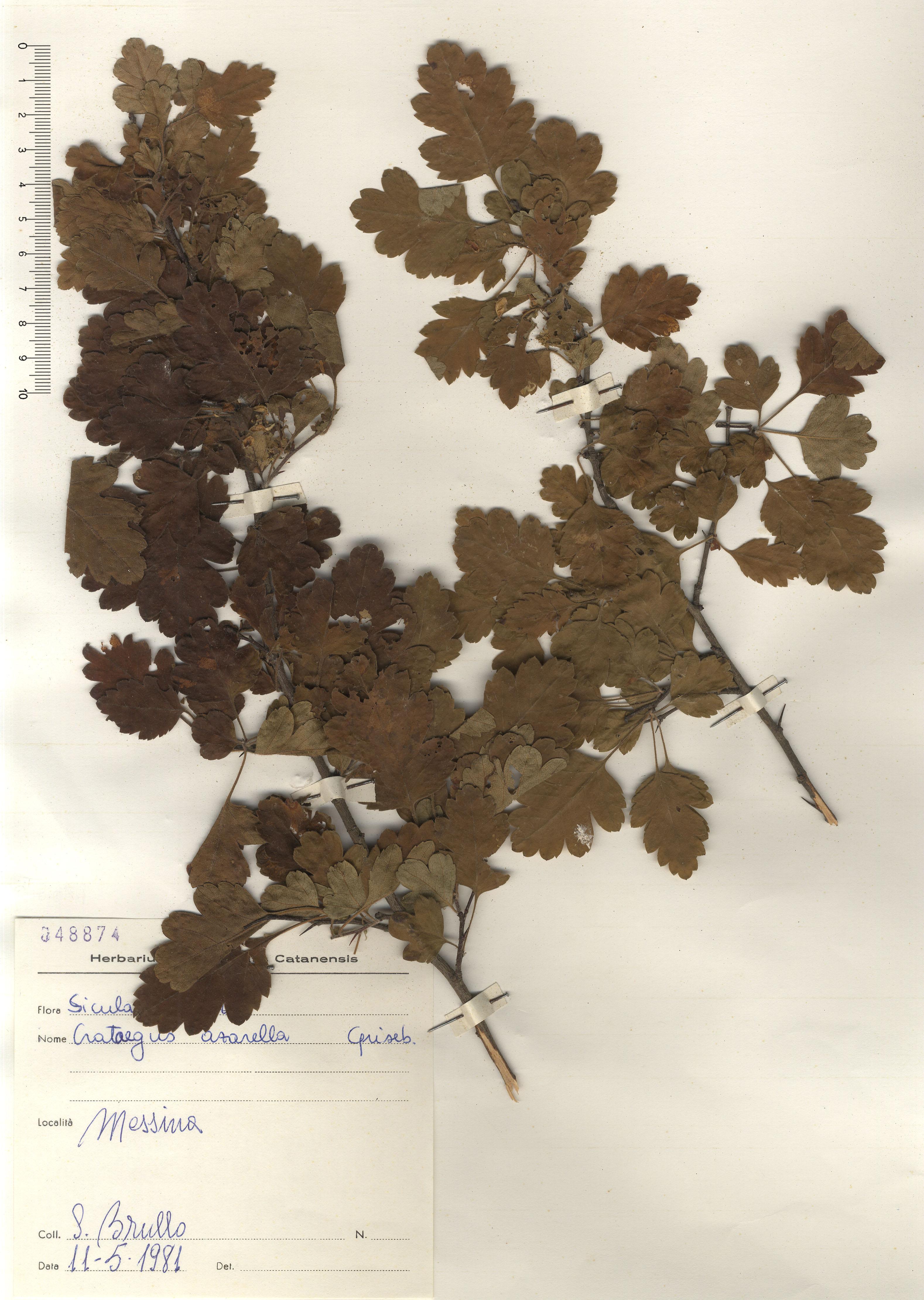 © Hortus Botanicus Catinensis - Herb. sheet 048874<br>