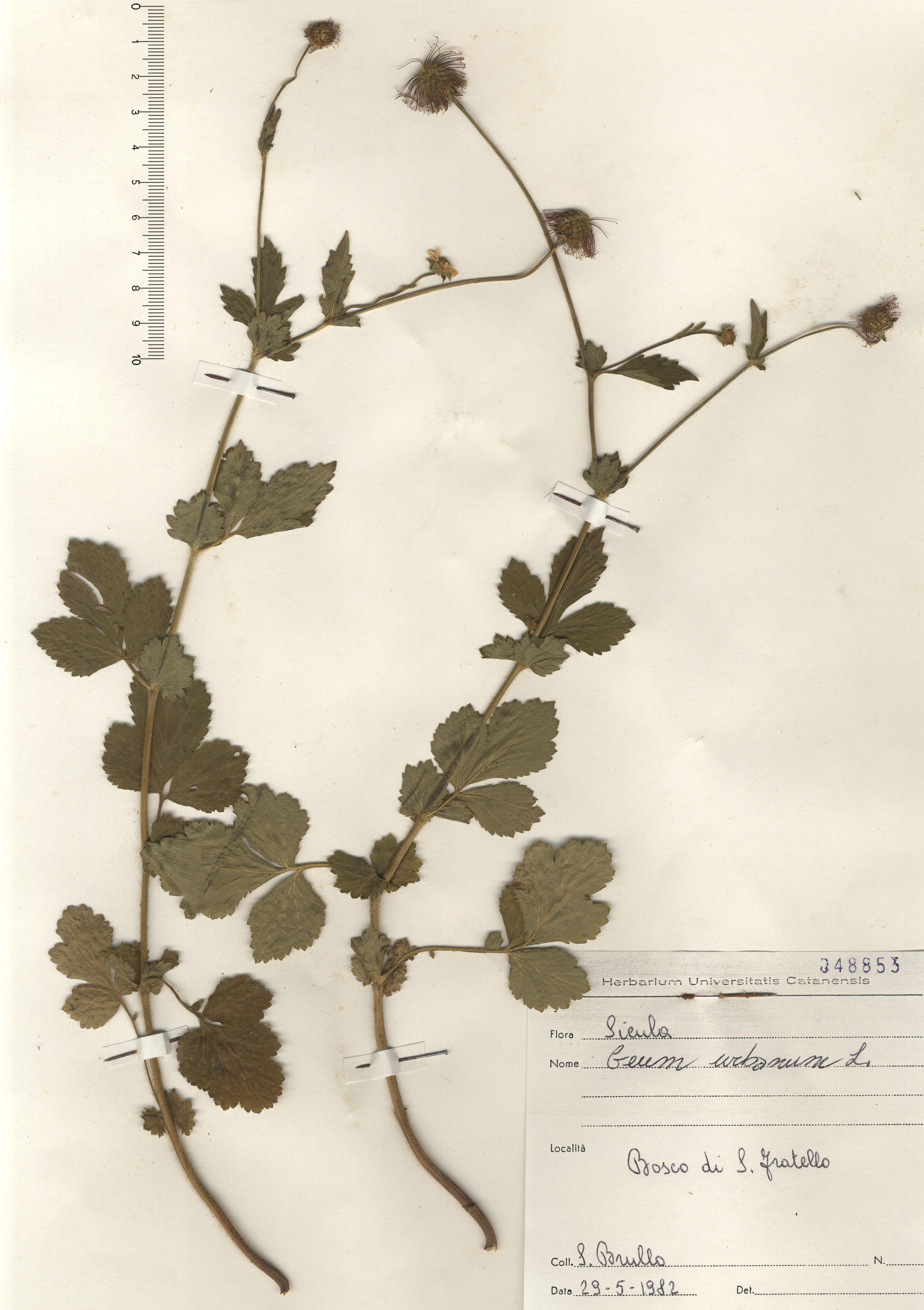 © Hortus Botanicus Catinensis - Herb. sheet 048853<br>
