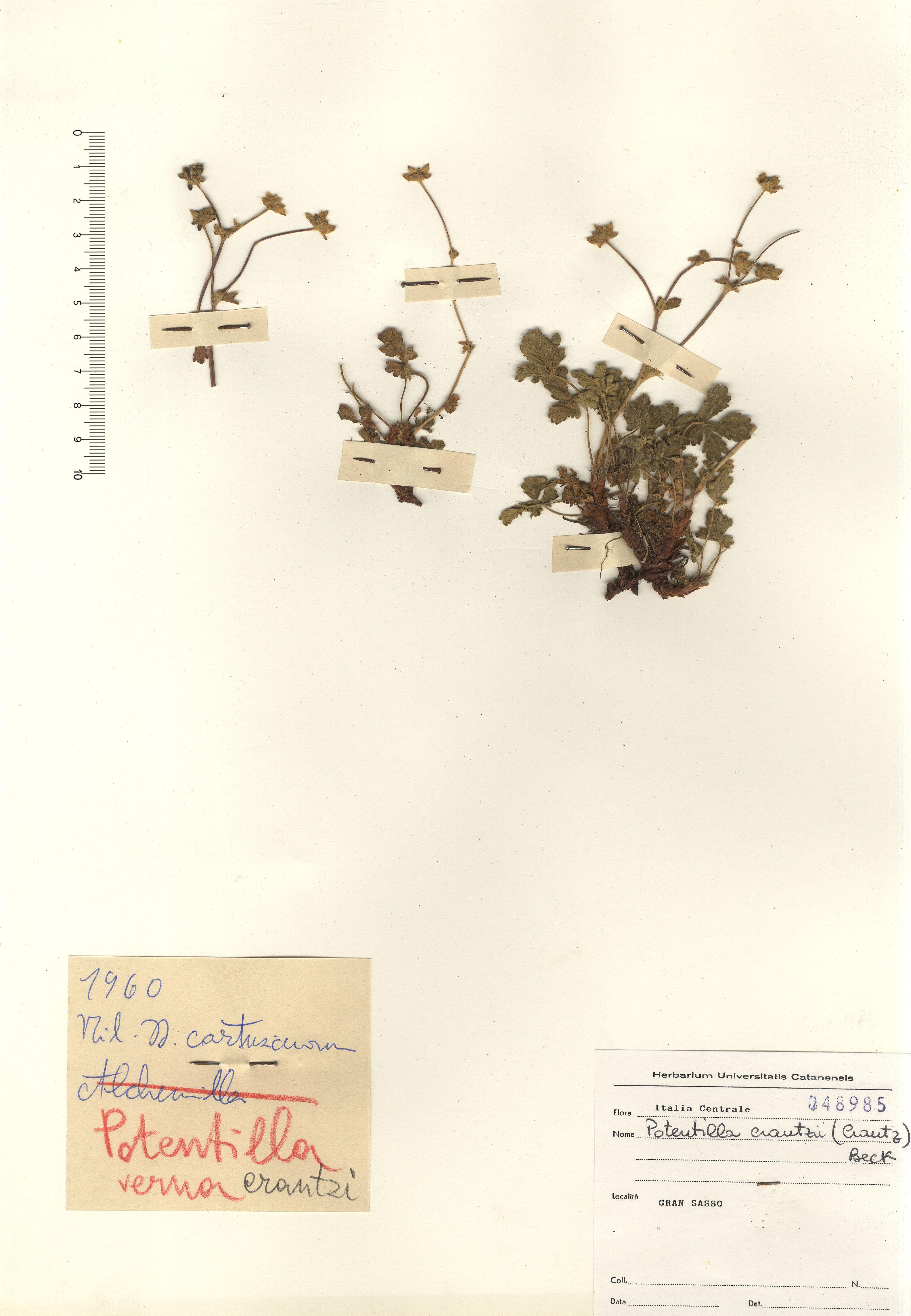 © Hortus Botanicus Catinensis - Herb. sheet 048985<br>