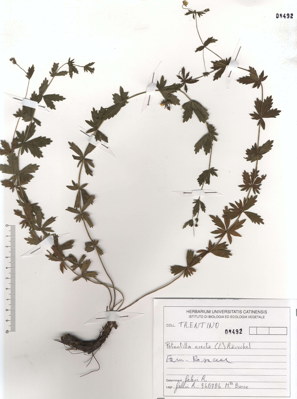 © Hortus Botanicus Catinensis - Herb. sheet 108492<br>