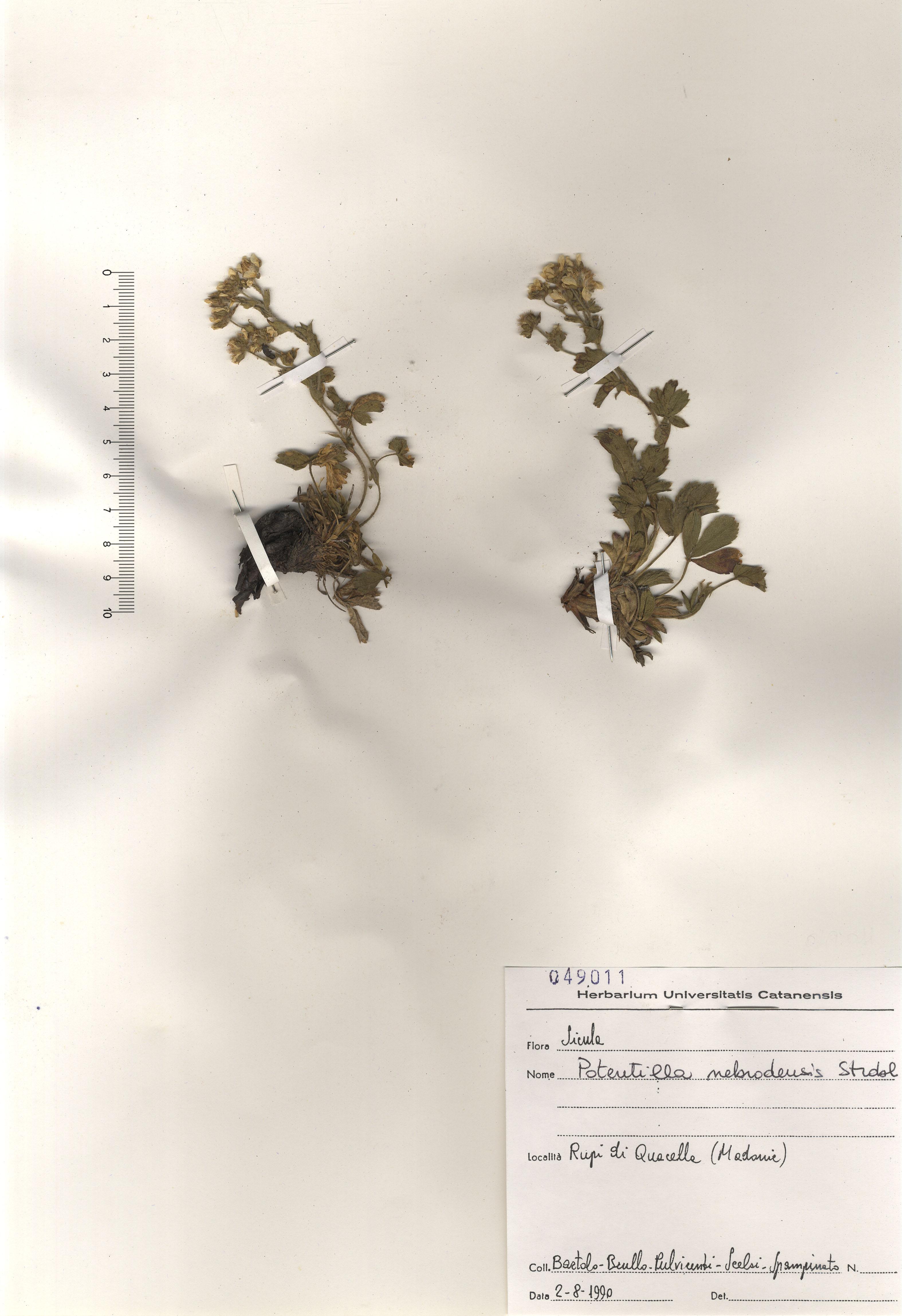 © Hortus Botanicus Catinensis - Herb. sheet 049011<br>