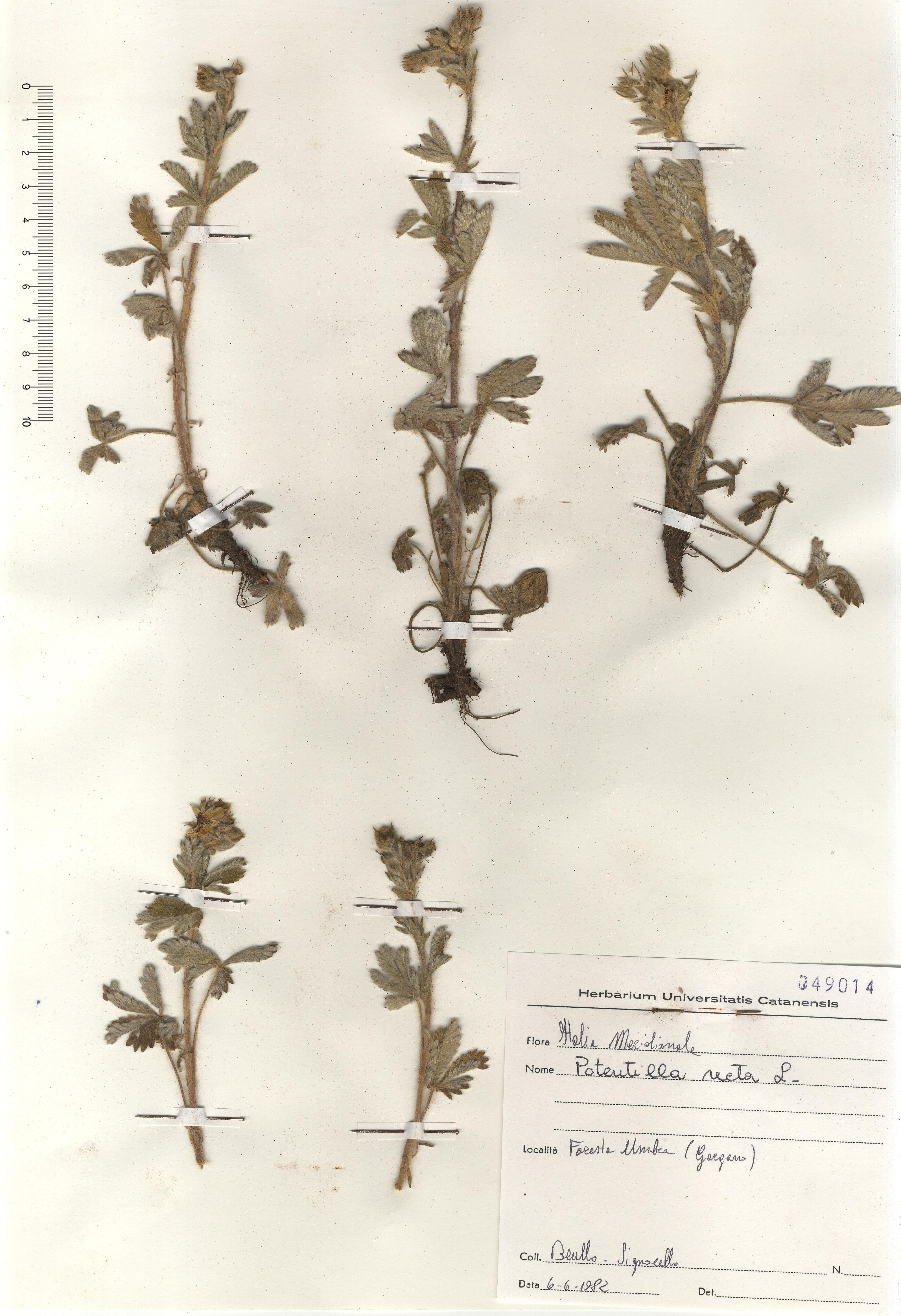 © Hortus Botanicus Catinensis - Herb. sheet 049014<br>