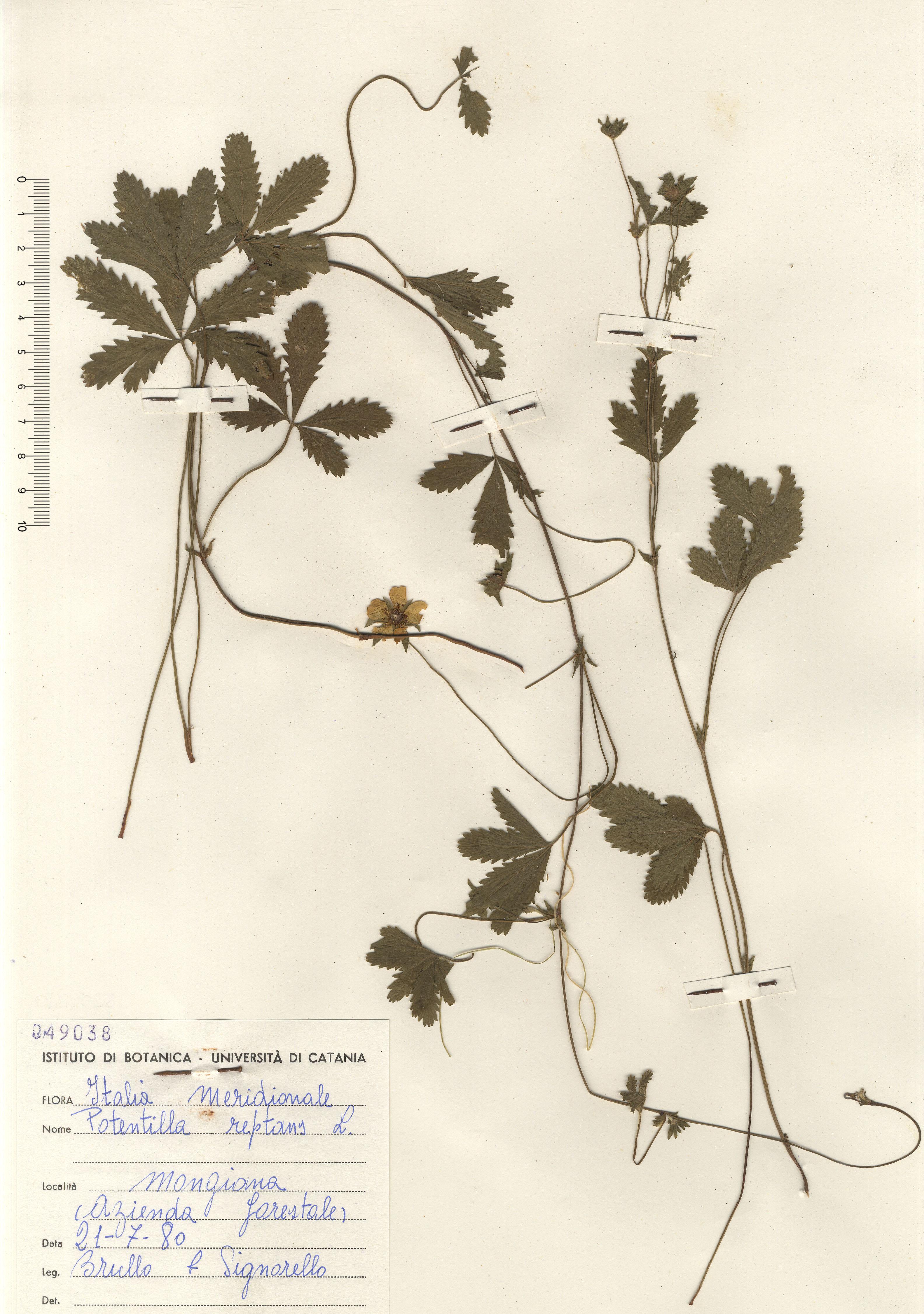 © Hortus Botanicus Catinensis - Herb. sheet 049038<br>