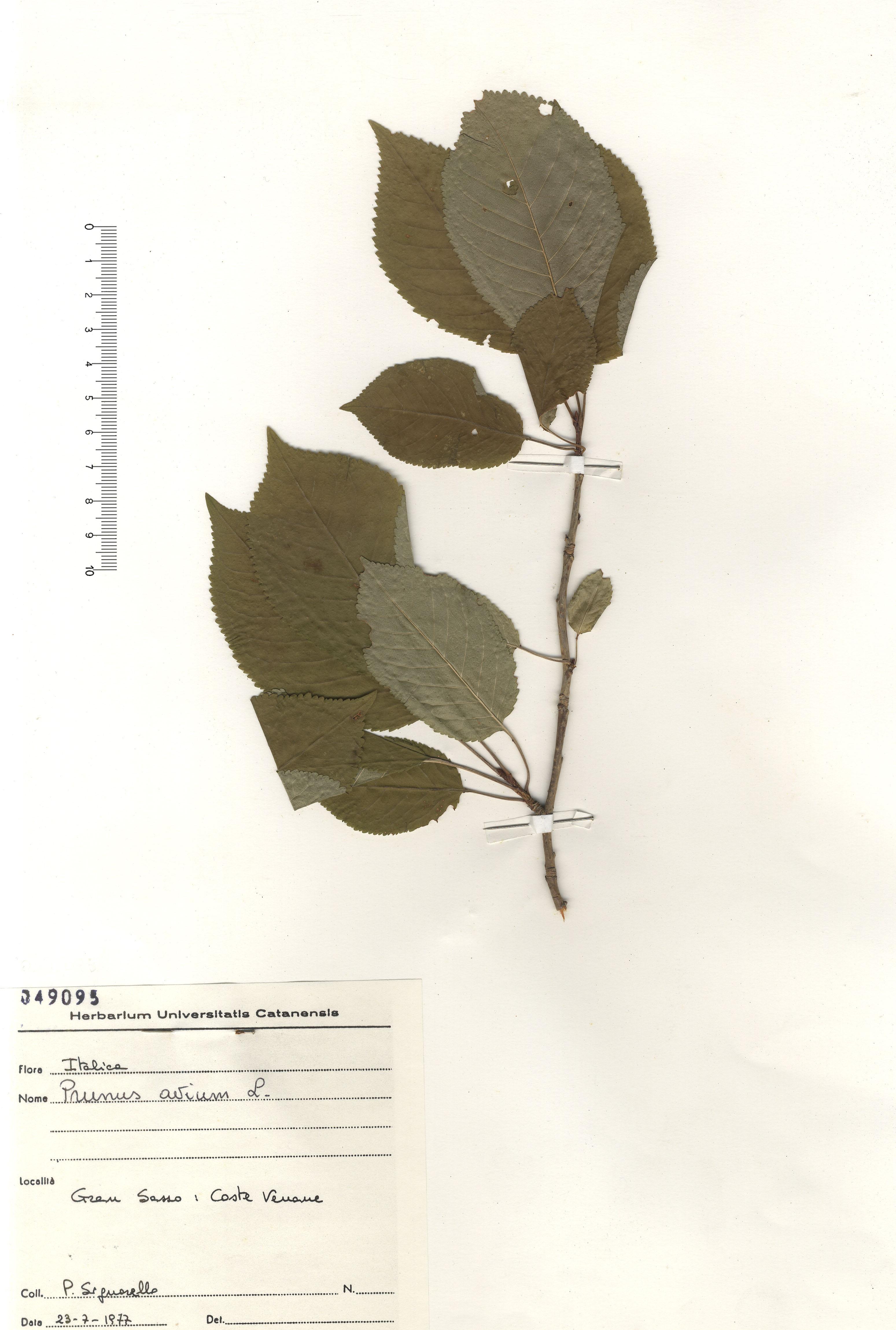 © Hortus Botanicus Catinensis - Herb. sheet 049095<br>