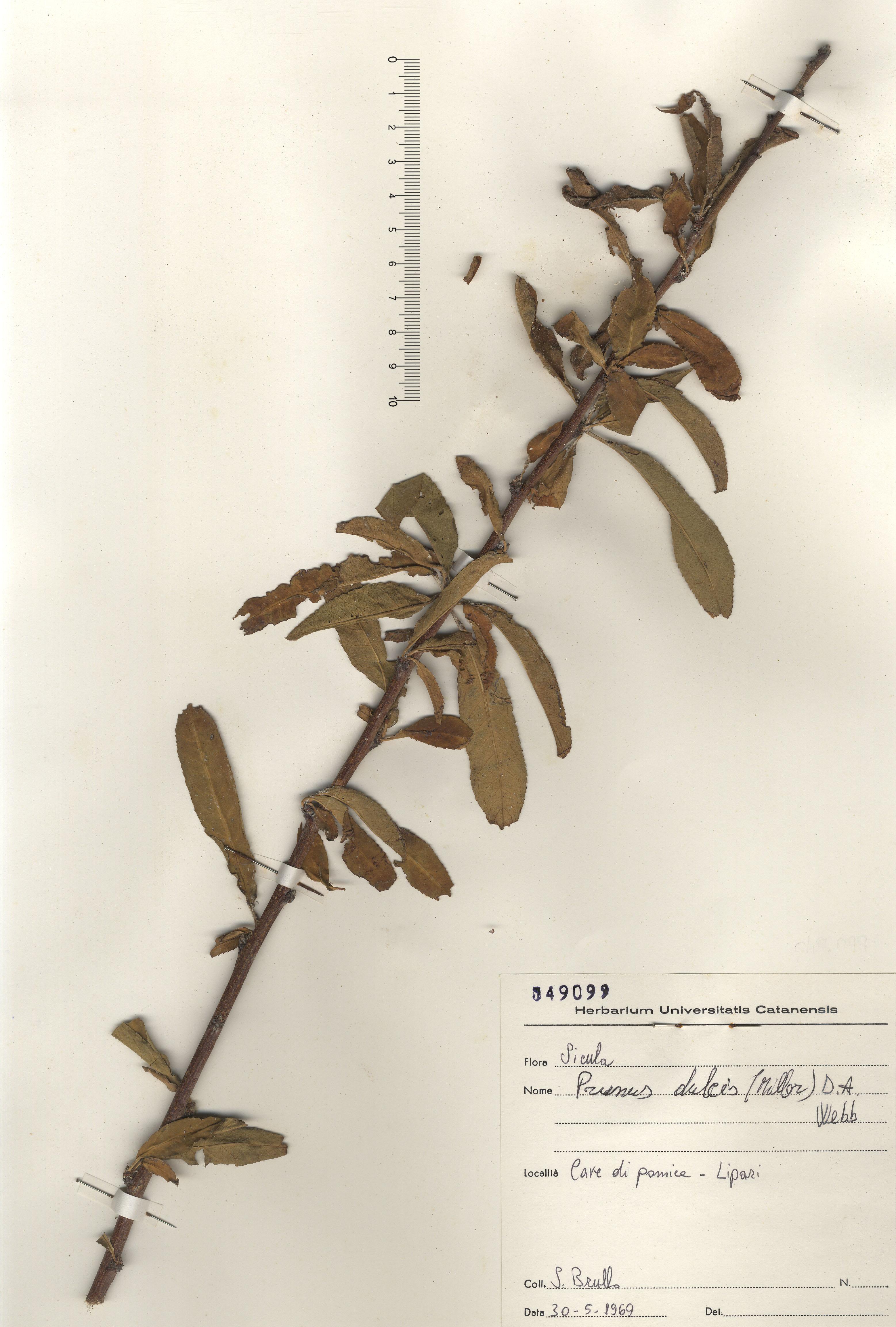 © Hortus Botanicus Catinensis - Herb. sheet 049099<br>