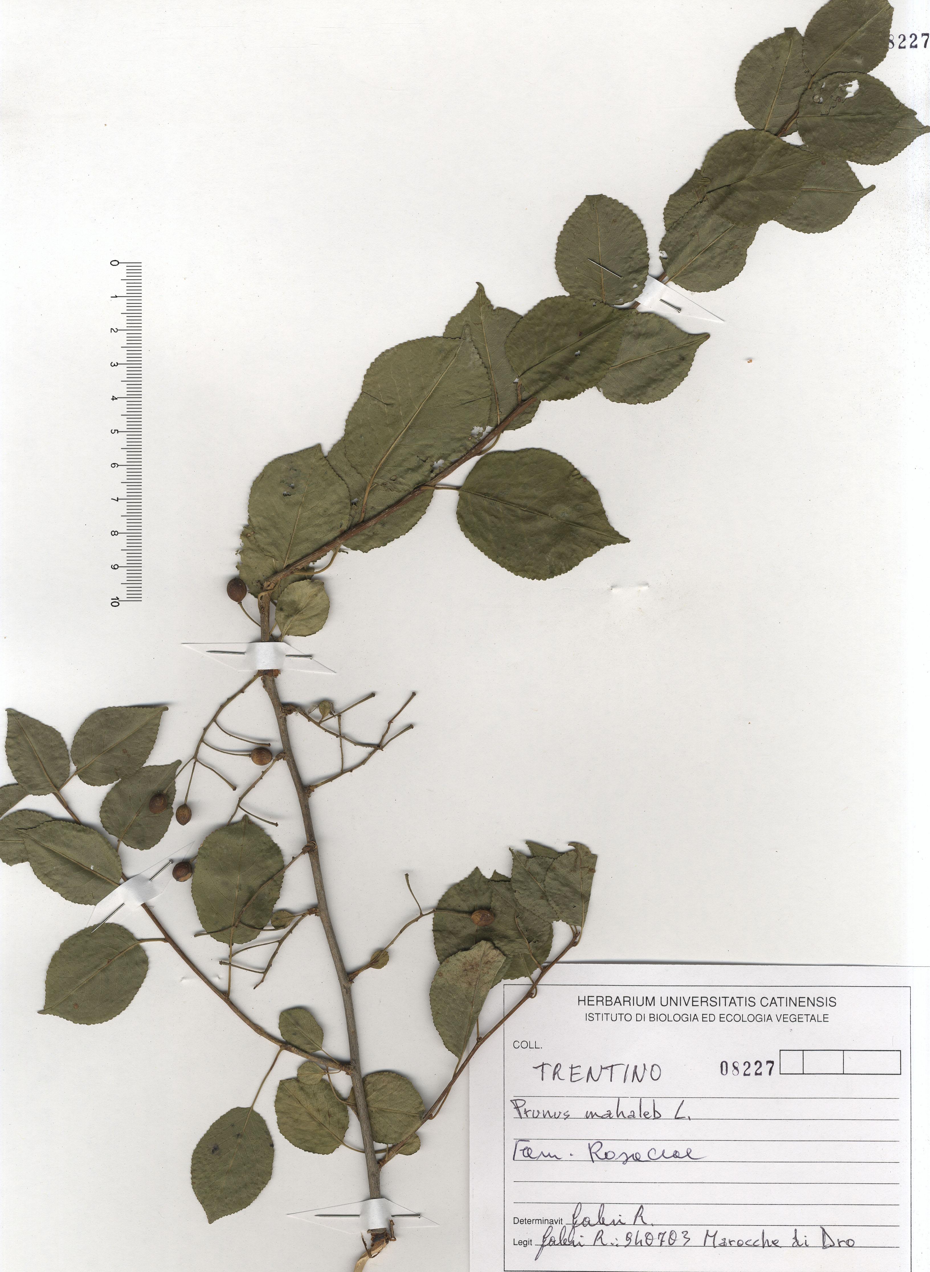 © Hortus Botanicus Catinensis - Herb. sheet 108227<br>