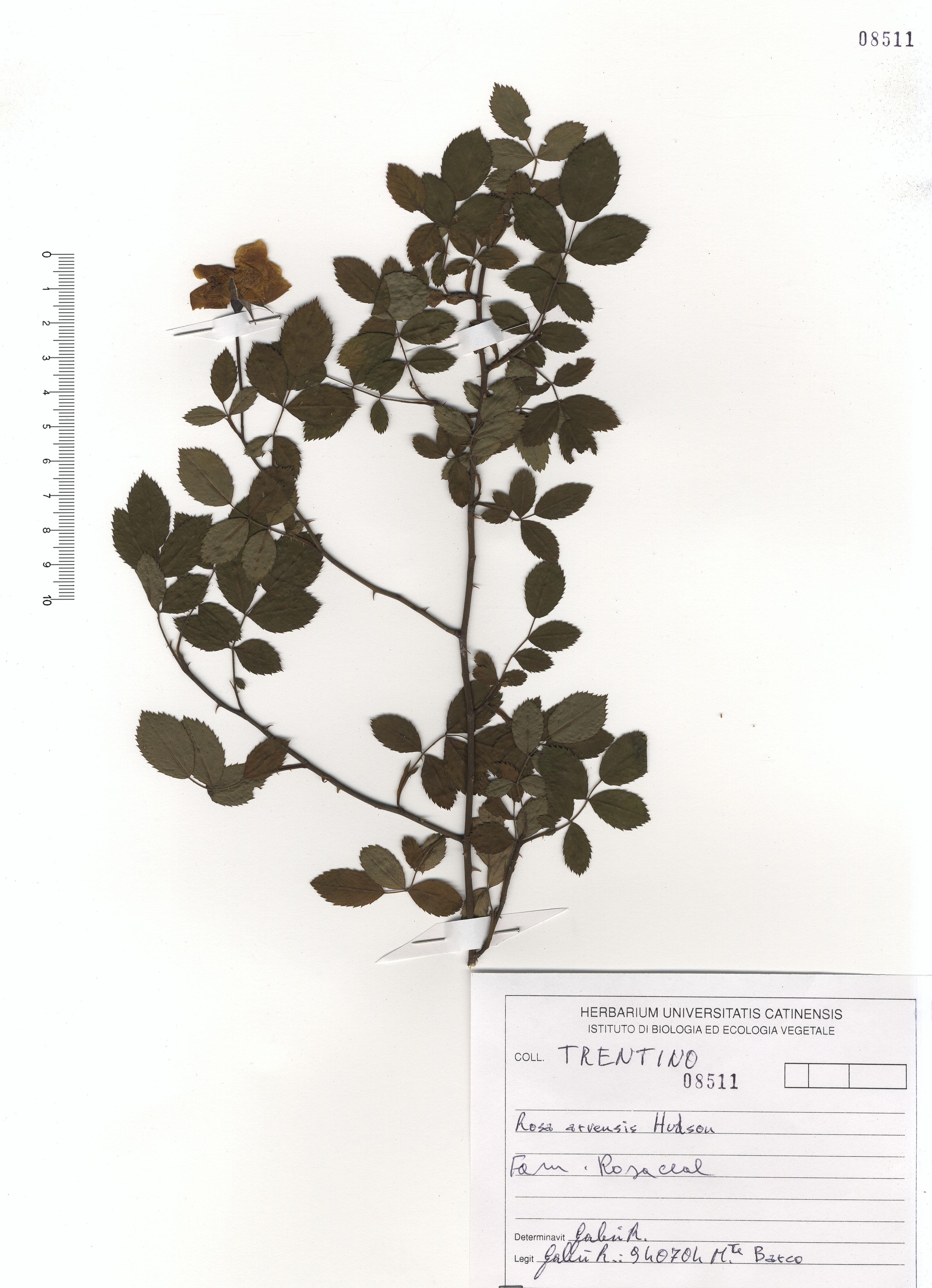 © Hortus Botanicus Catinensis - Herb. sheet 108511<br>