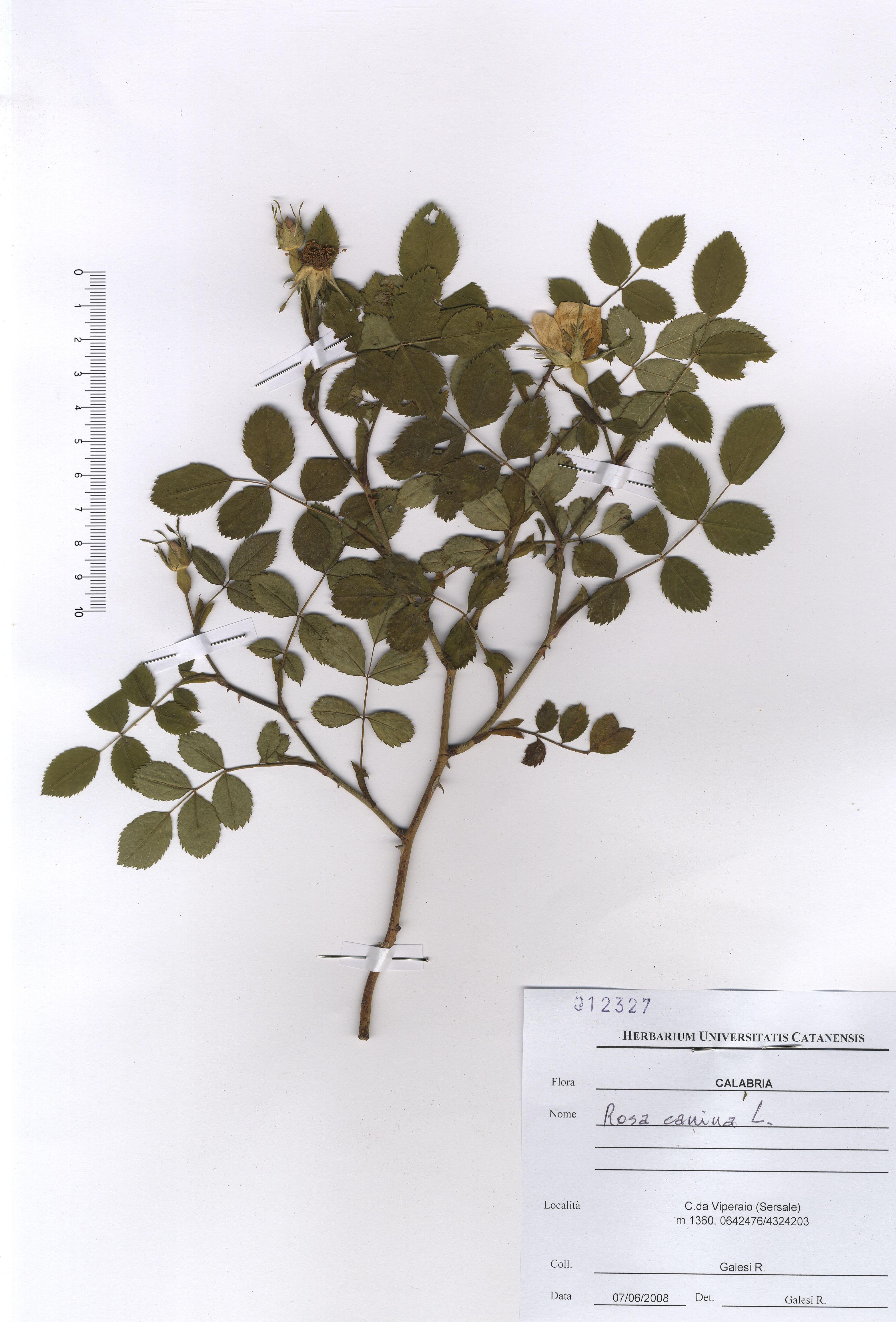 © Hortus Botanicus Catinensis - Herb. sheet 012327<br>