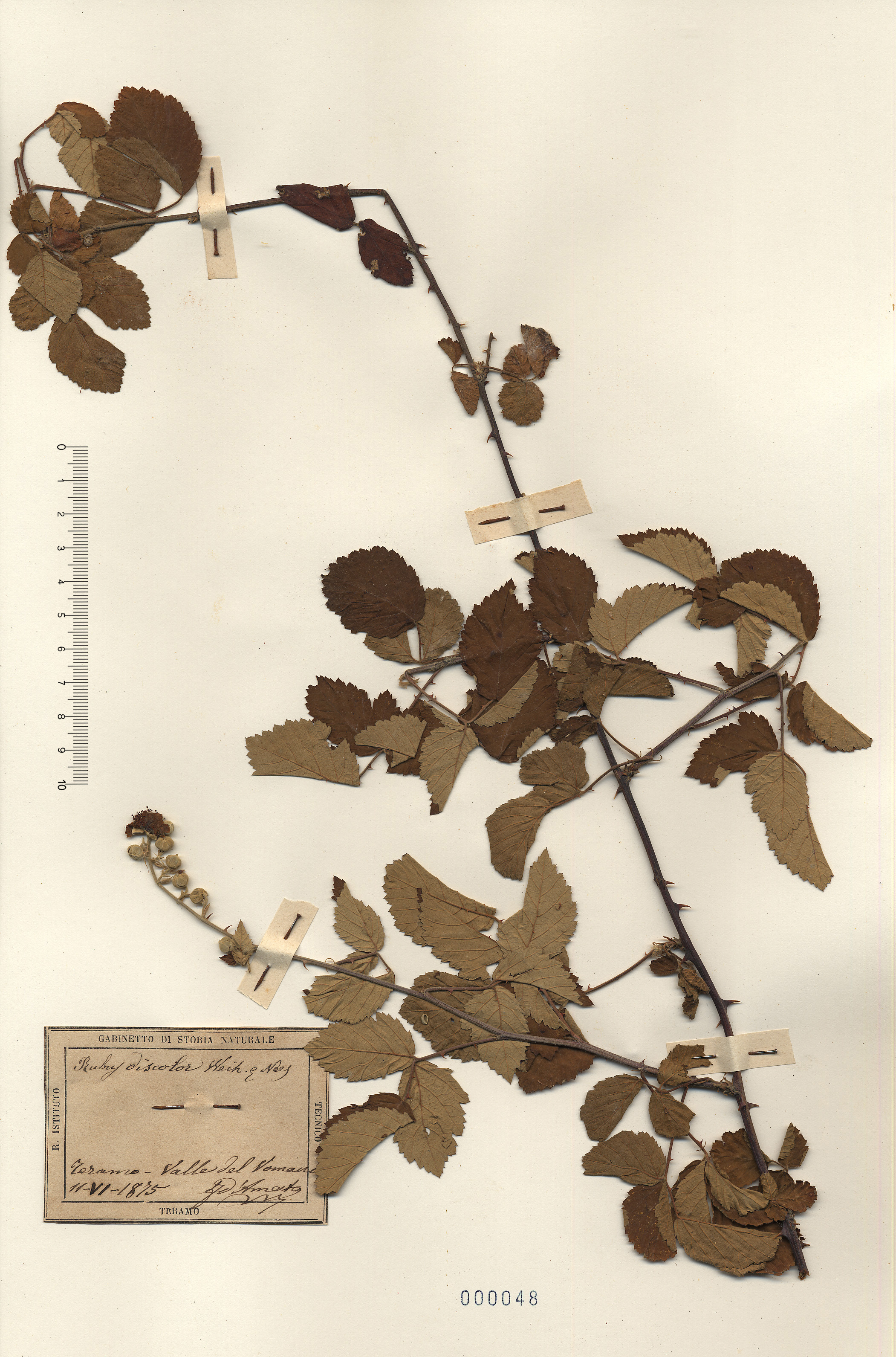 © Hortus Botanicus Catinensis - Herb. sheet 000048<br>
