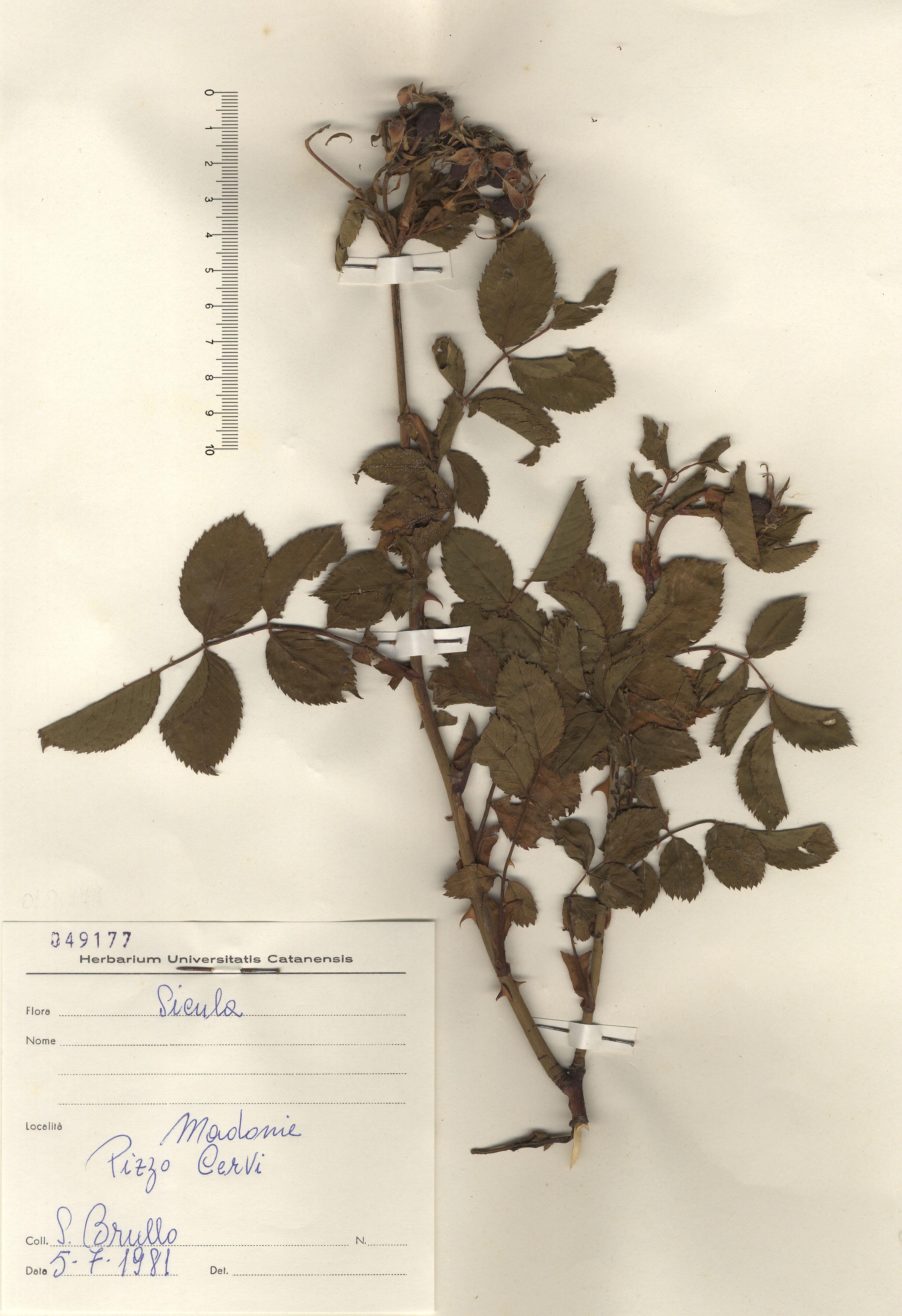 © Hortus Botanicus Catinensis - Herb. sheet 049177<br>
