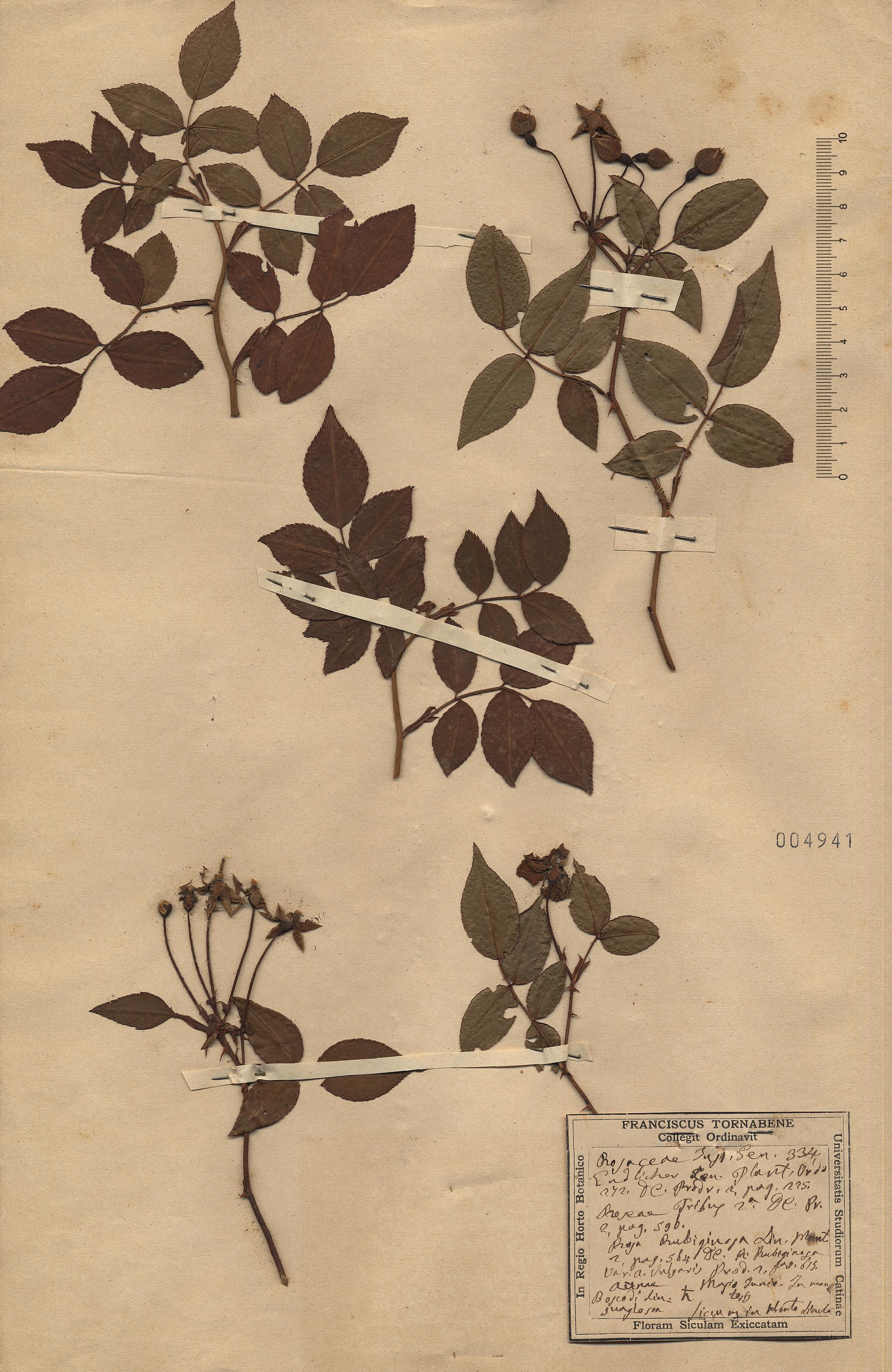 © Hortus Botanicus Catinensis - Herb. sheet 004941<br>