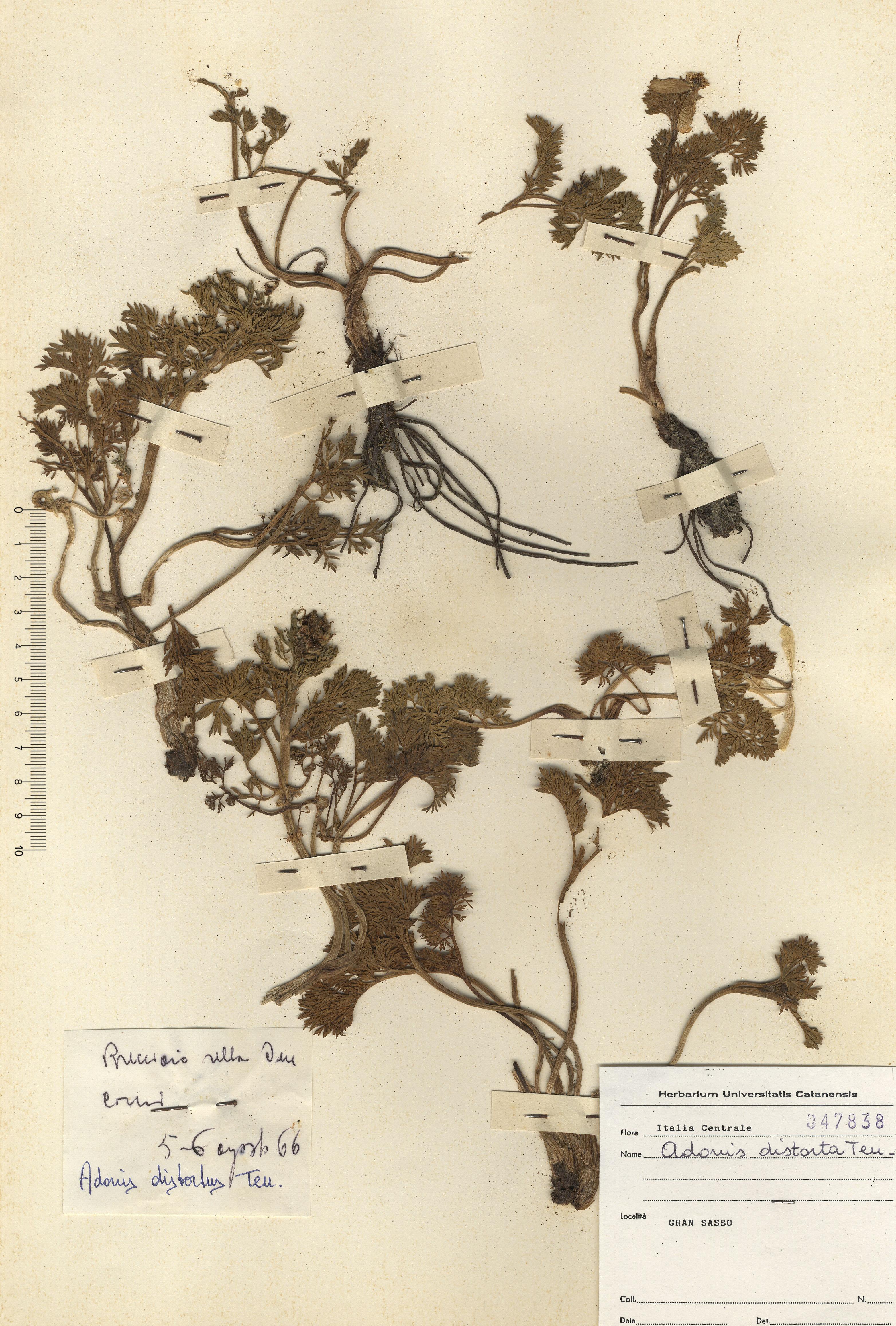 © Hortus Botanicus Catinensis - Herb. sheet 047383<br>