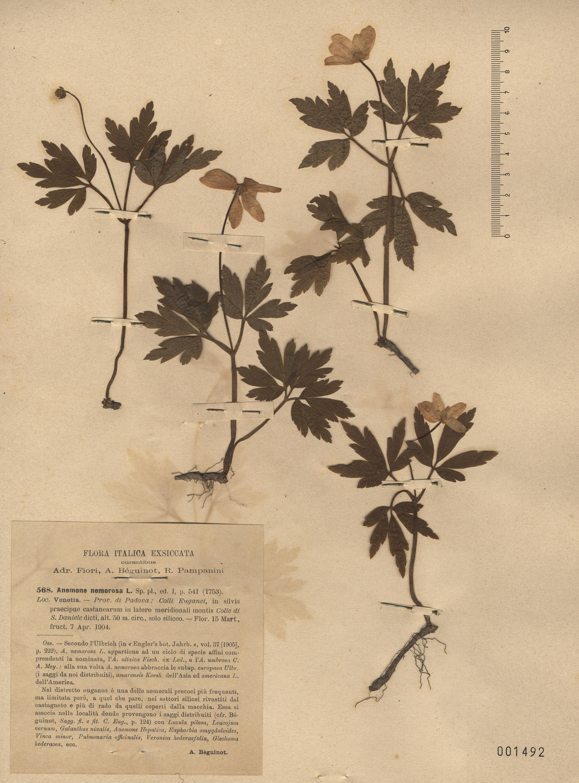 © Hortus Botanicus Catinensis - Herb. sheet 001492<br>