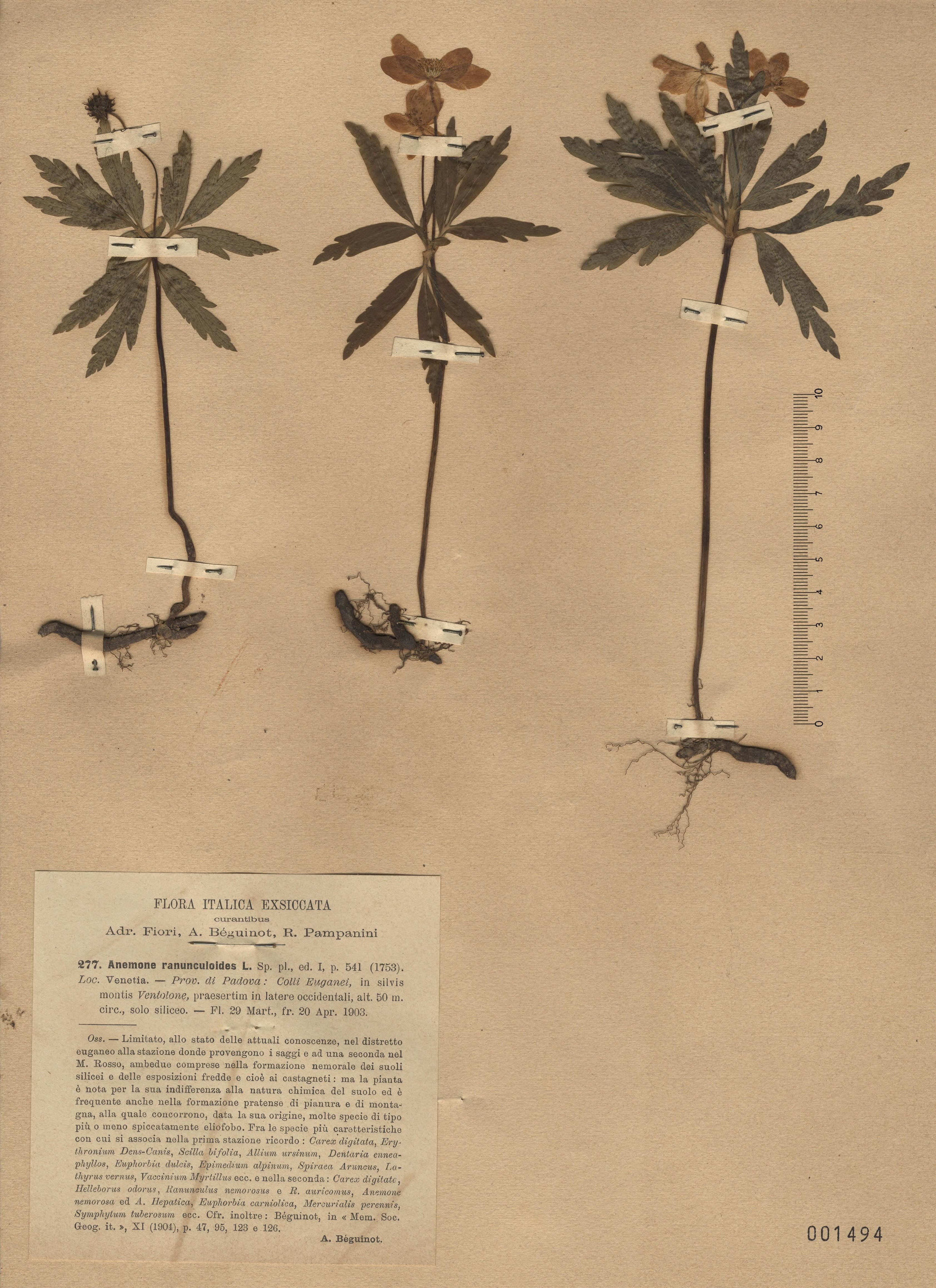 © Hortus Botanicus Catinensis - Herb. sheet 001494<br>