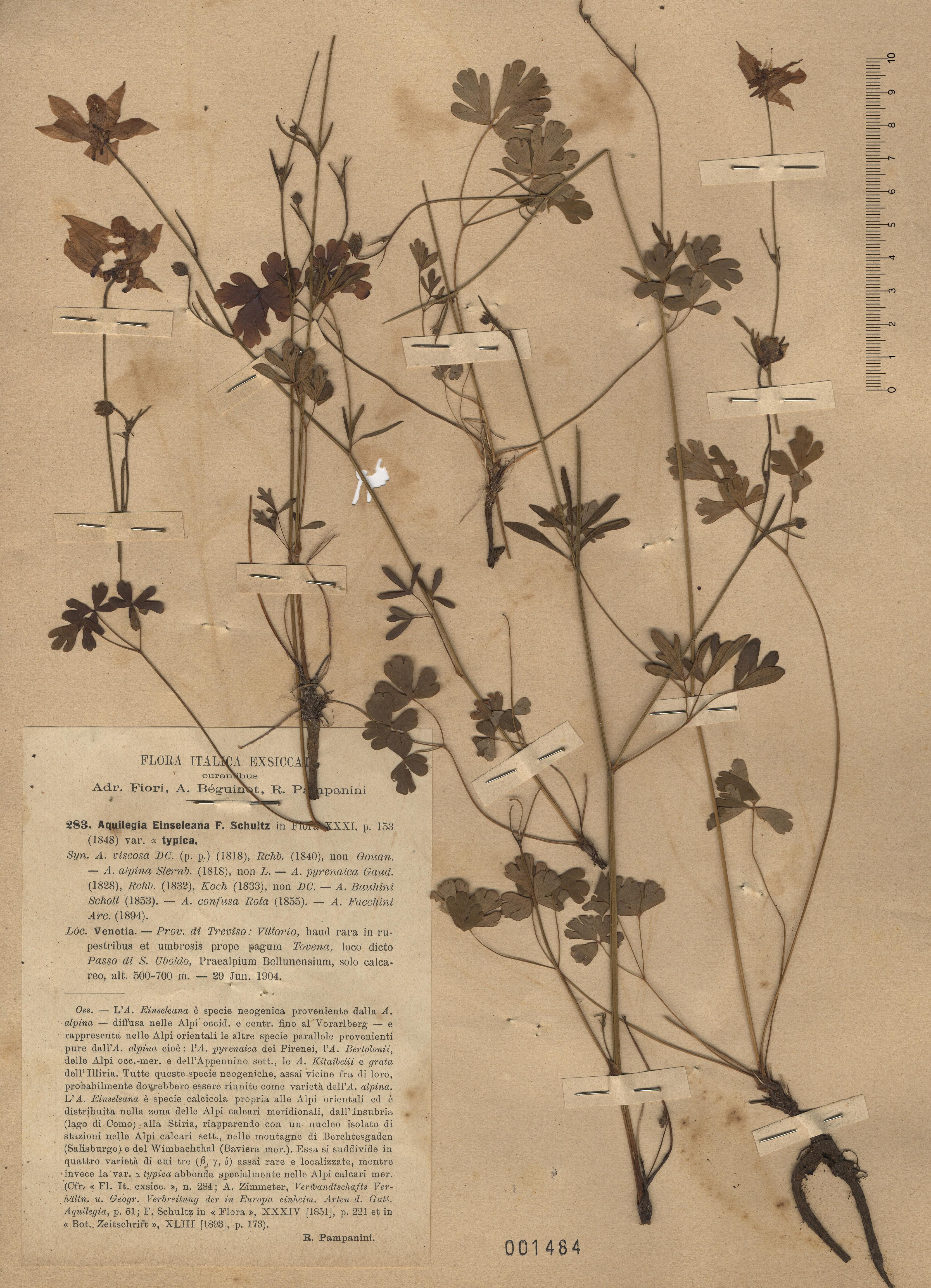 © Hortus Botanicus Catinensis - Herb. sheet 001484<br>