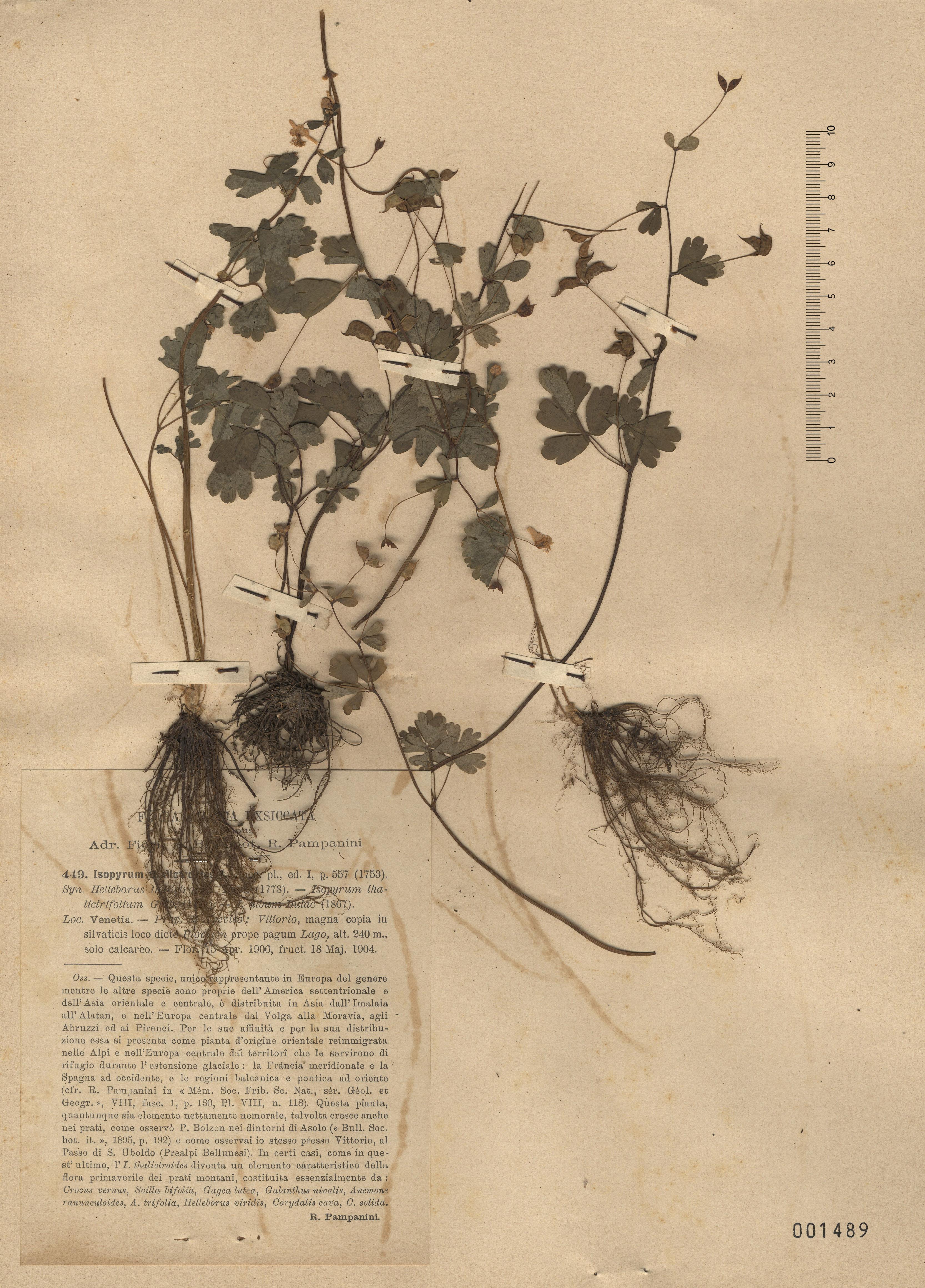 © Hortus Botanicus Catinensis - Herb. sheet 001489<br>