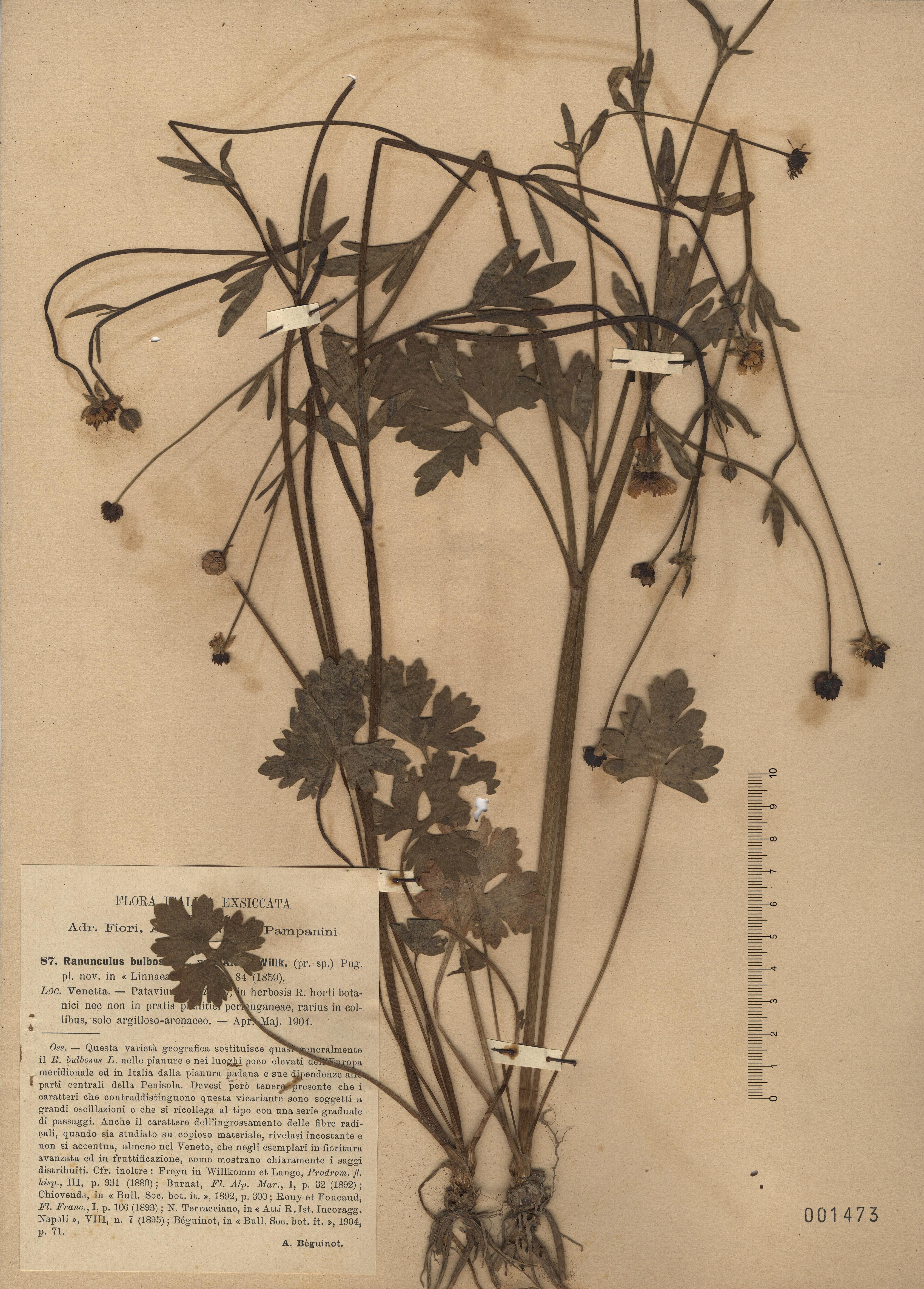 &copy; Hortus Botanicus Catinensis - Herb. sheet 001473<br>