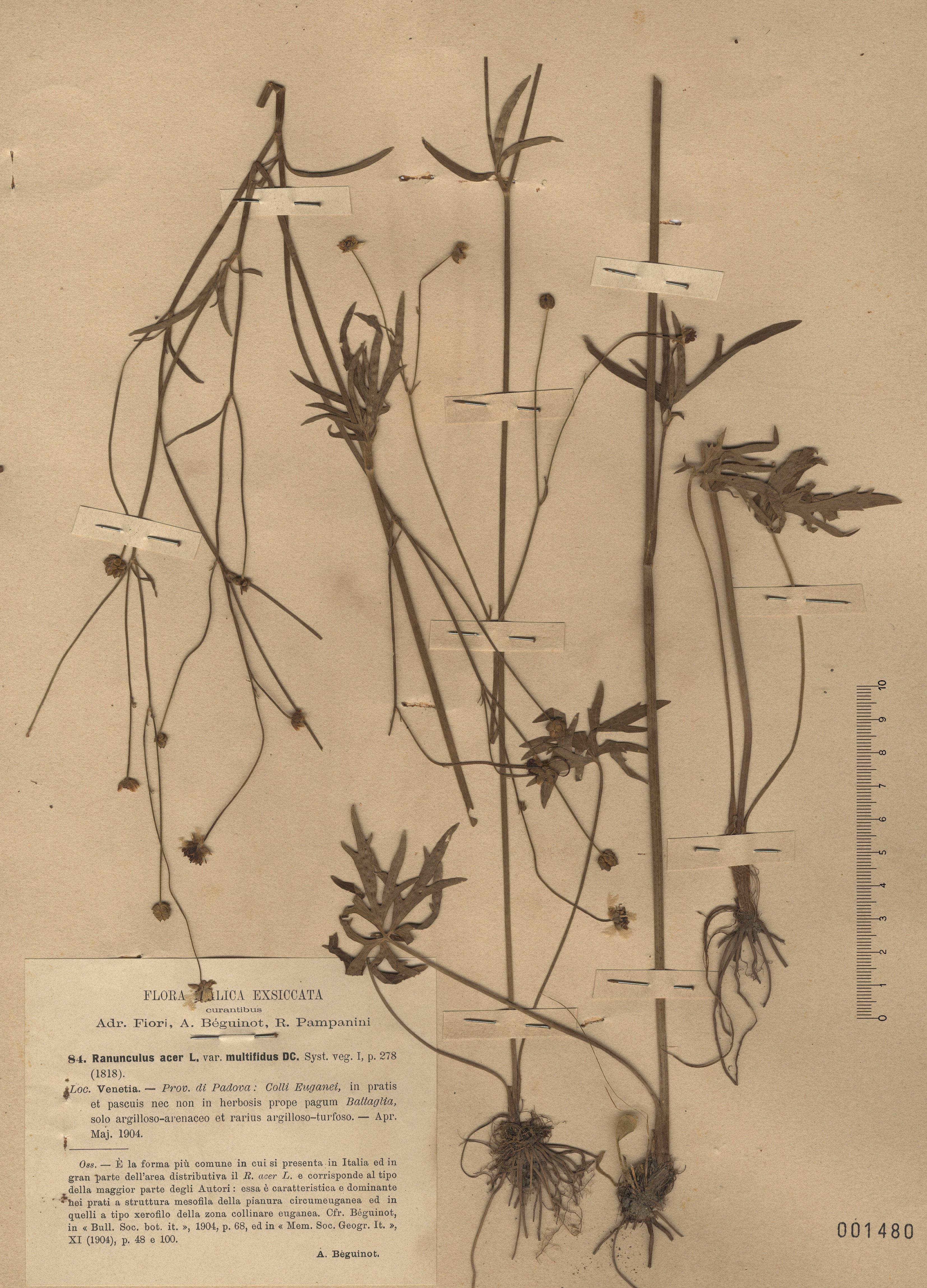 © Hortus Botanicus Catinensis - Herb. sheet 001480<br>