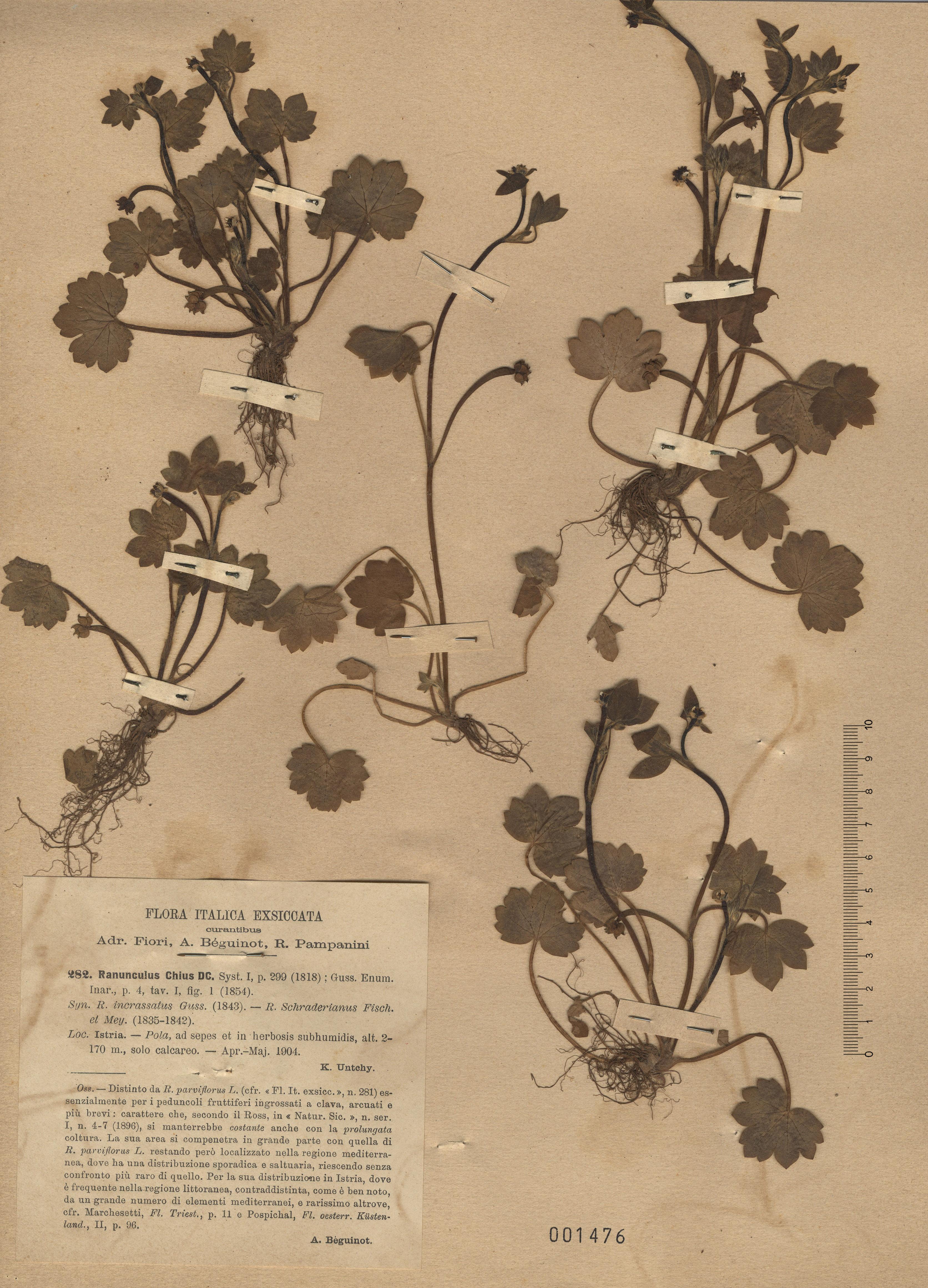 © Hortus Botanicus Catinensis - Herb. sheet 001476<br>
