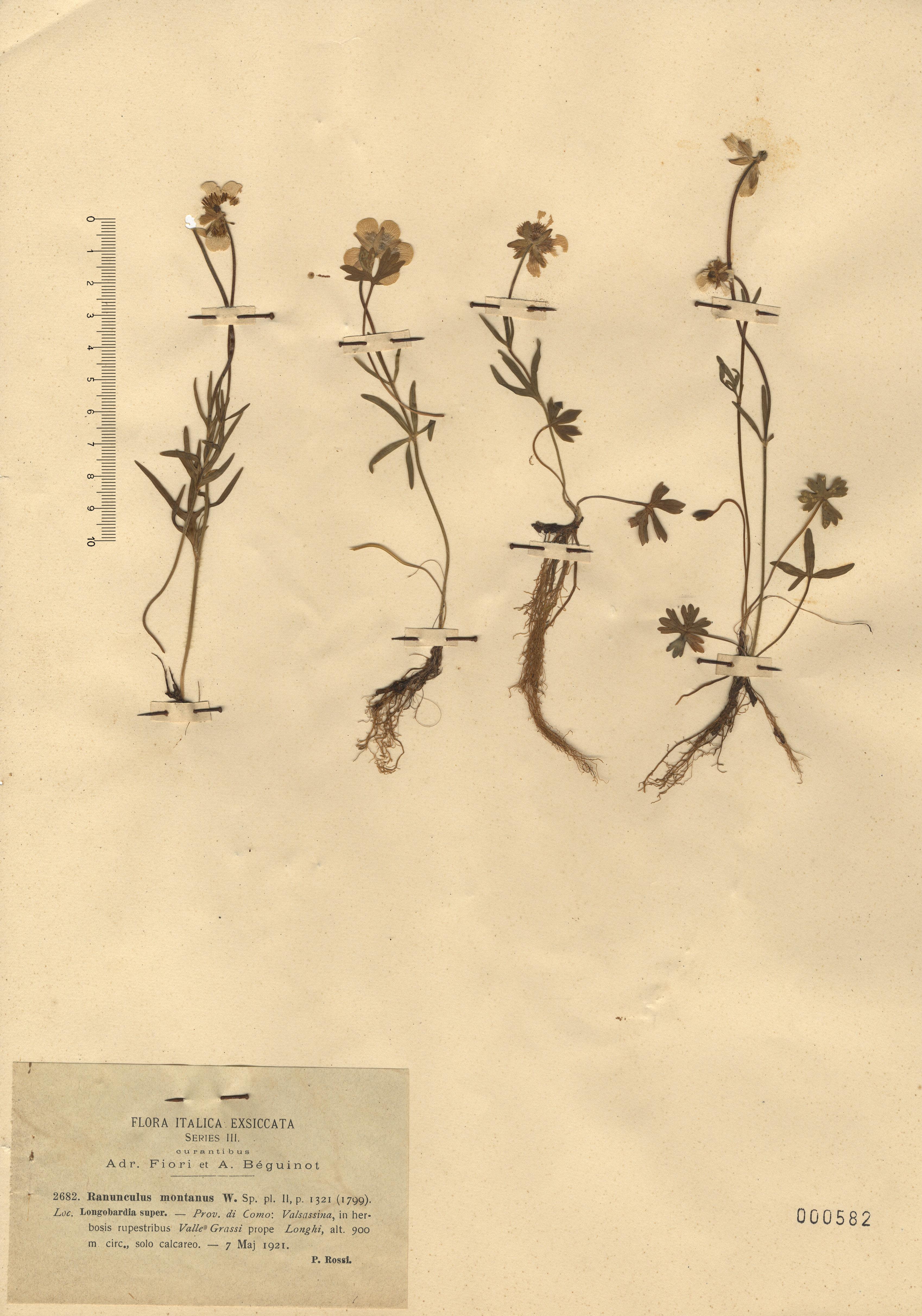 © Hortus Botanicus Catinensis - Herb. sheet 000582<br>