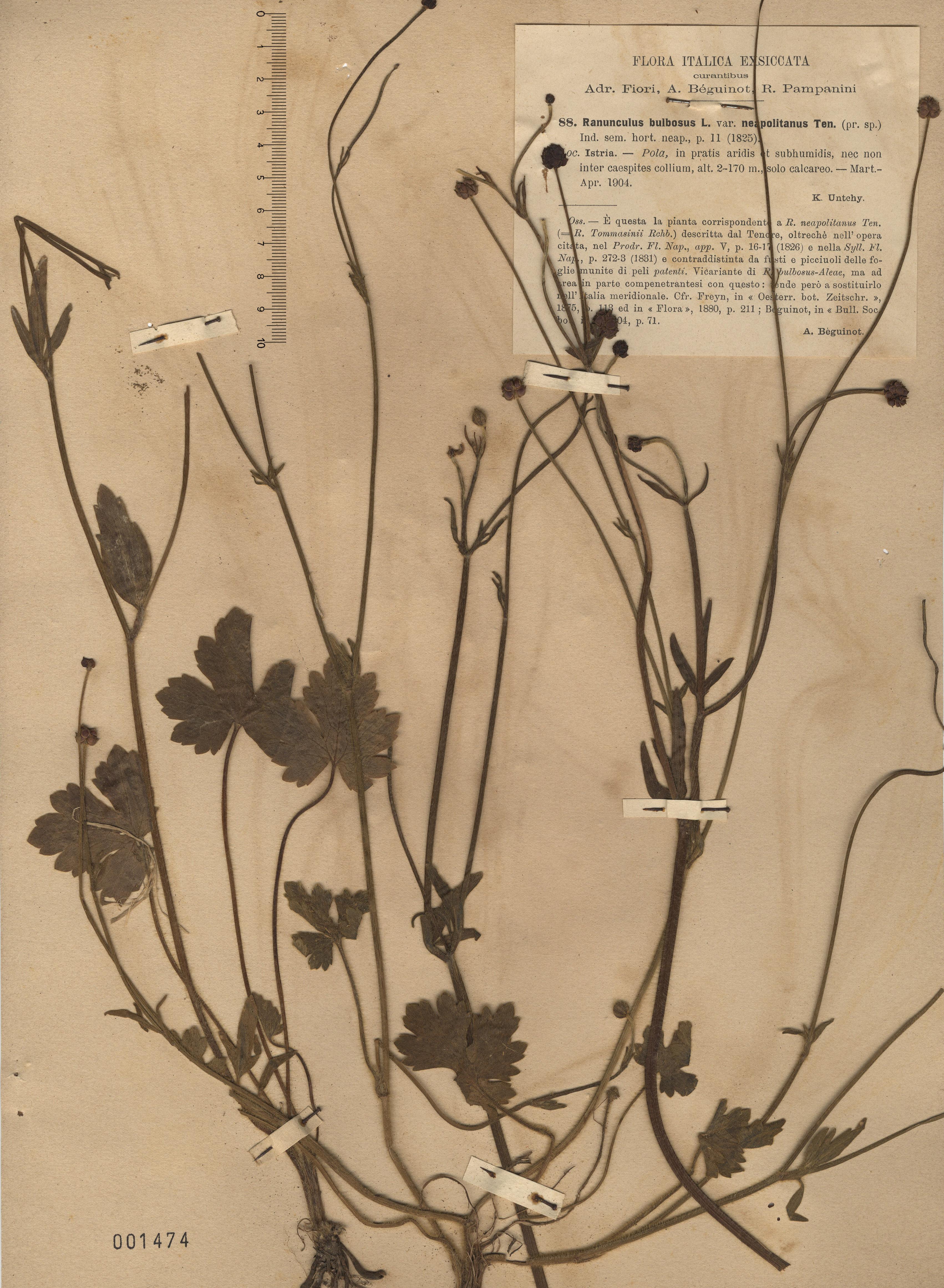 © Hortus Botanicus Catinensis - Herb. sheet 001474<br>