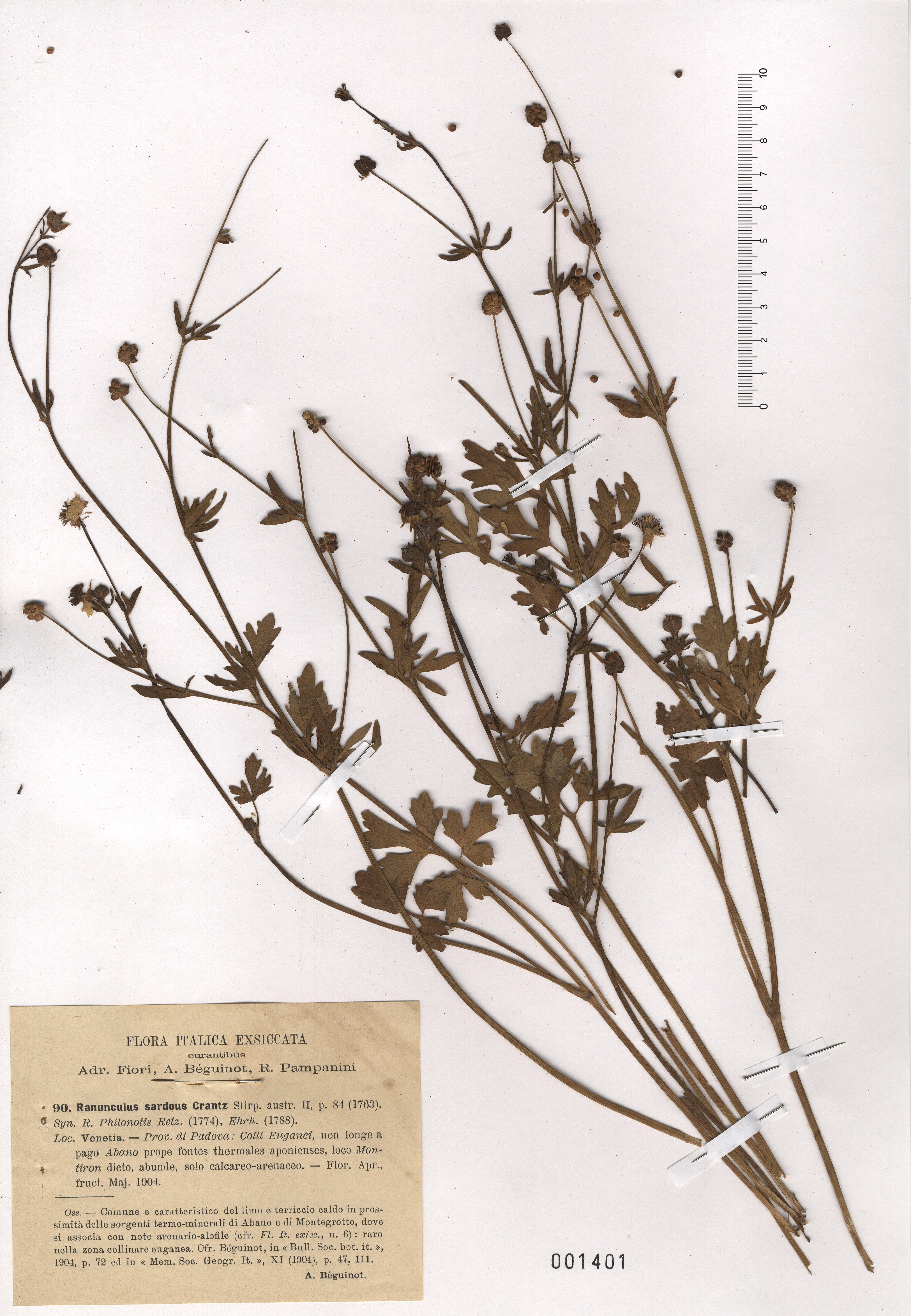 © Hortus Botanicus Catinensis - Herb. sheet 001401<br>