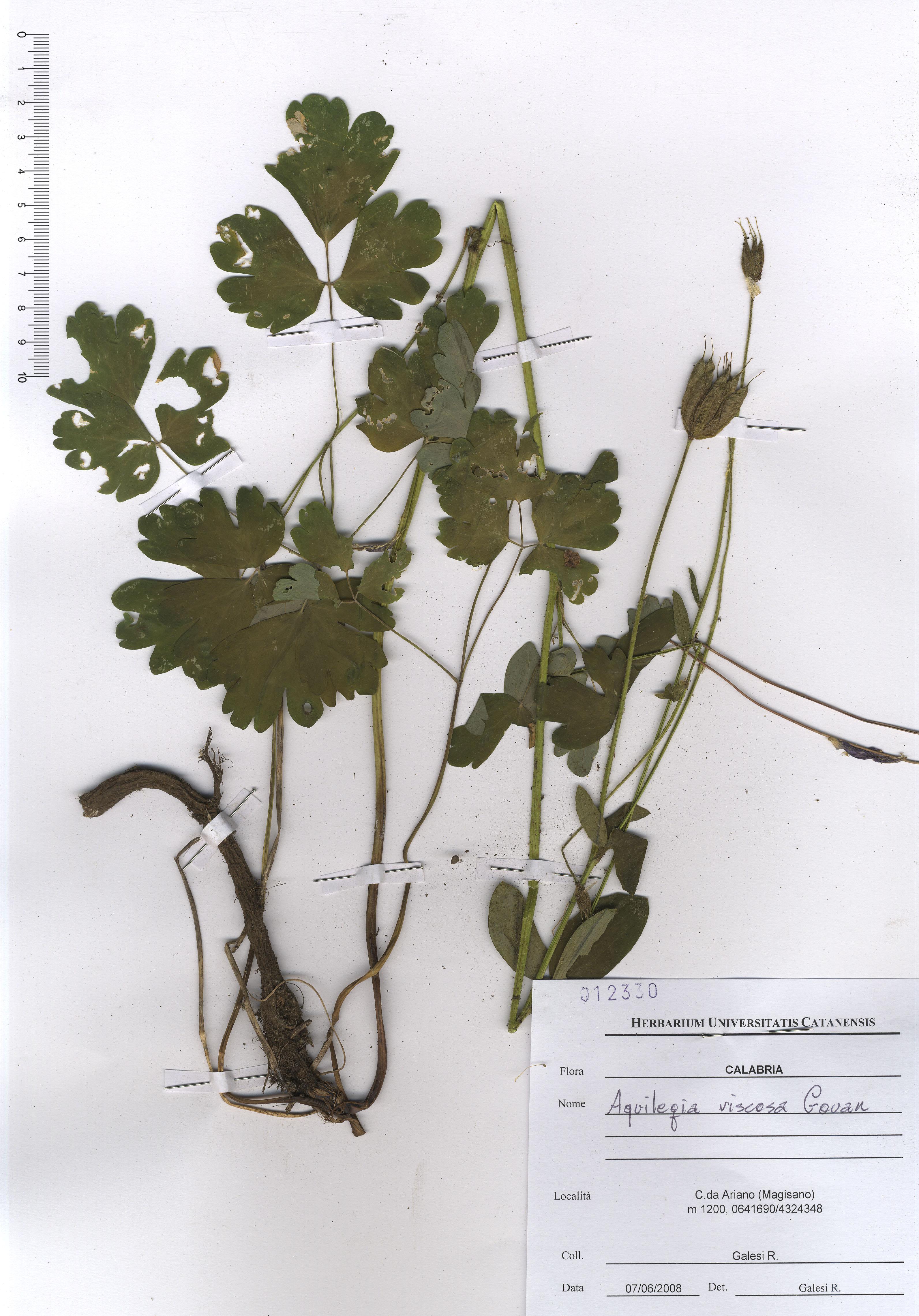 © Hortus Botanicus Catinensis - Herb. sheet 012330<br>
