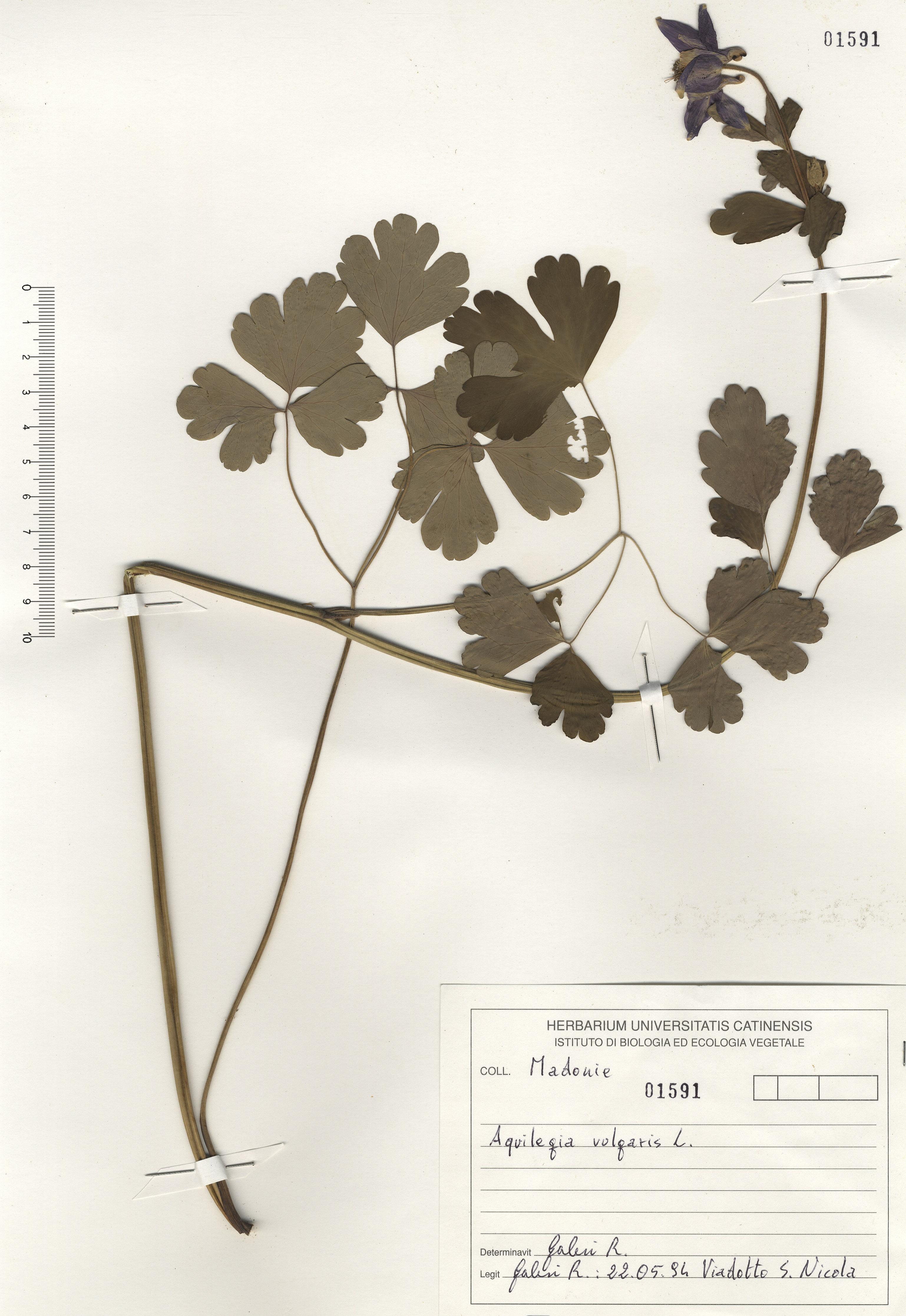 © Hortus Botanicus Catinensis - Herb. sheet 101591<br>