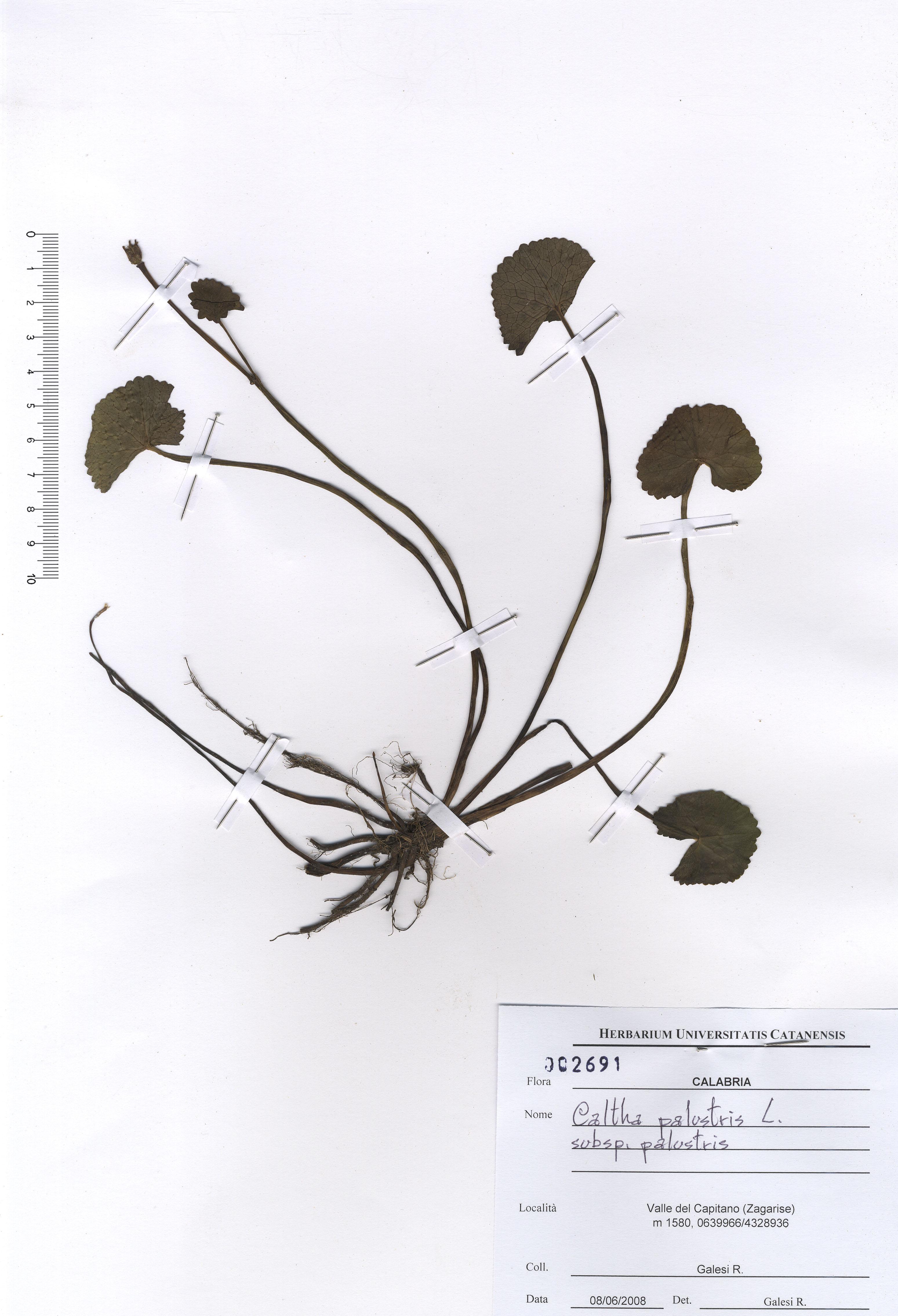 © Hortus Botanicus Catinensis - Herb. sheet 002691<br>