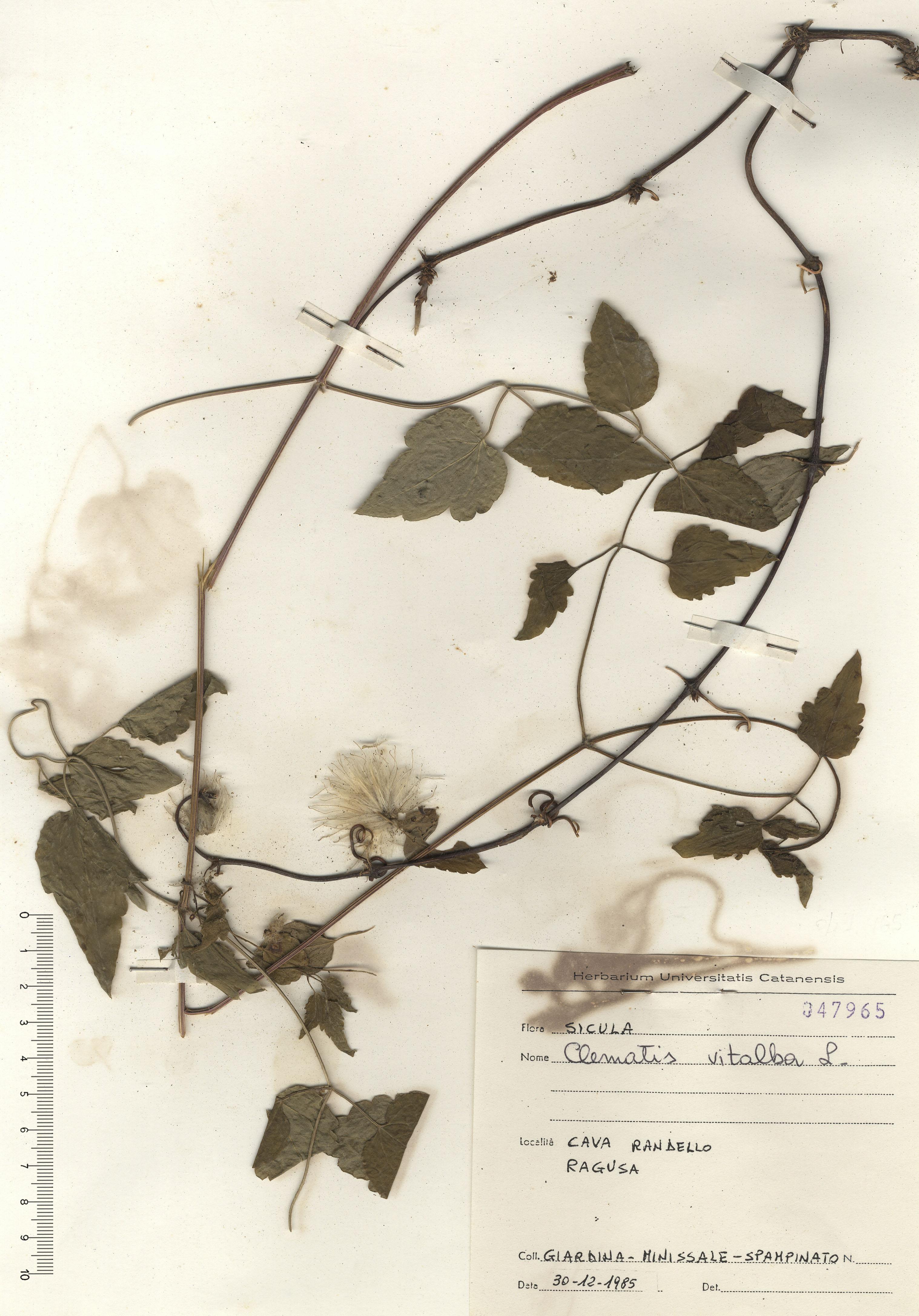 © Hortus Botanicus Catinensis - Herb. sheet 047965<br>