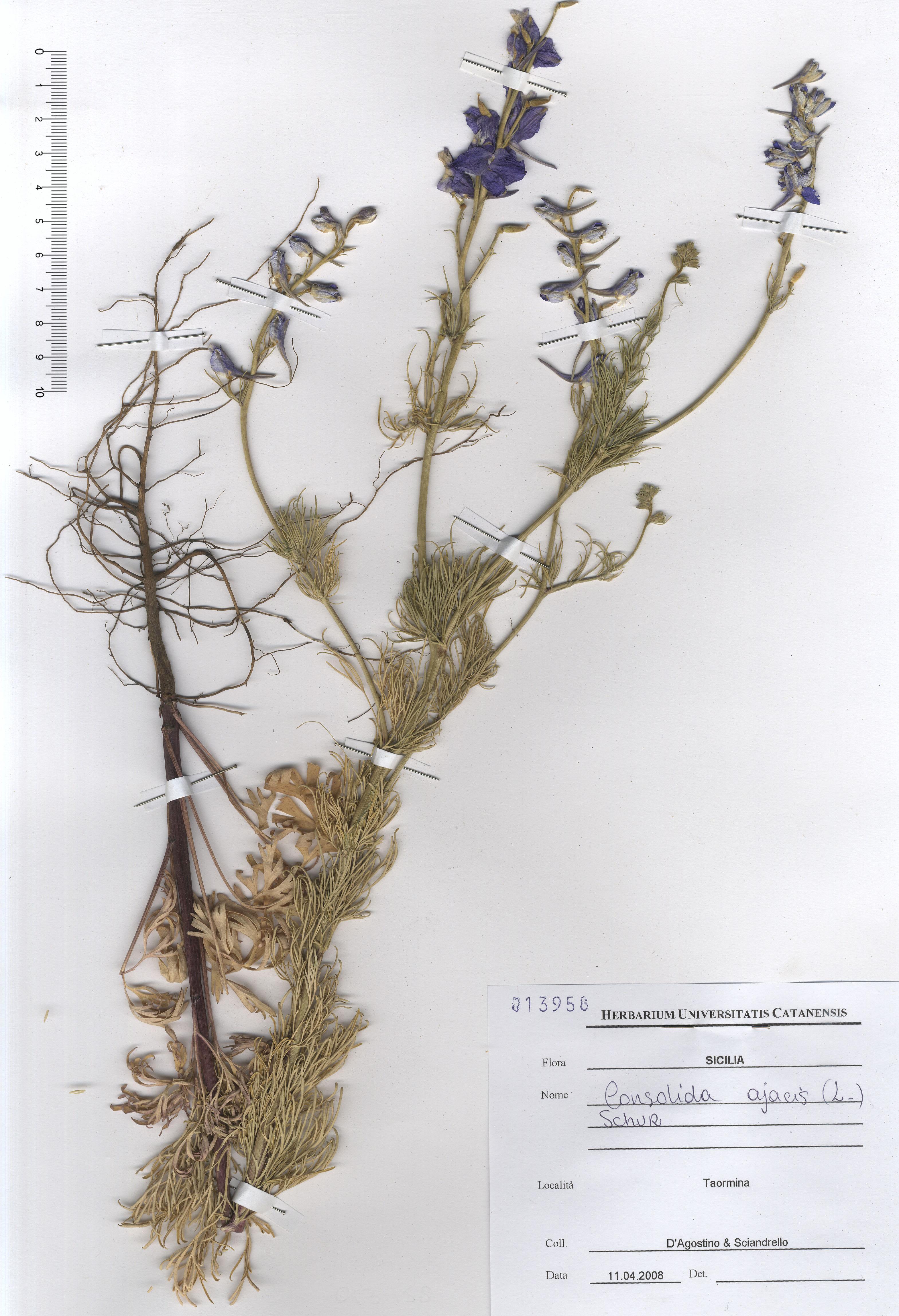 © Hortus Botanicus Catinensis - Herb. sheet 013958<br>