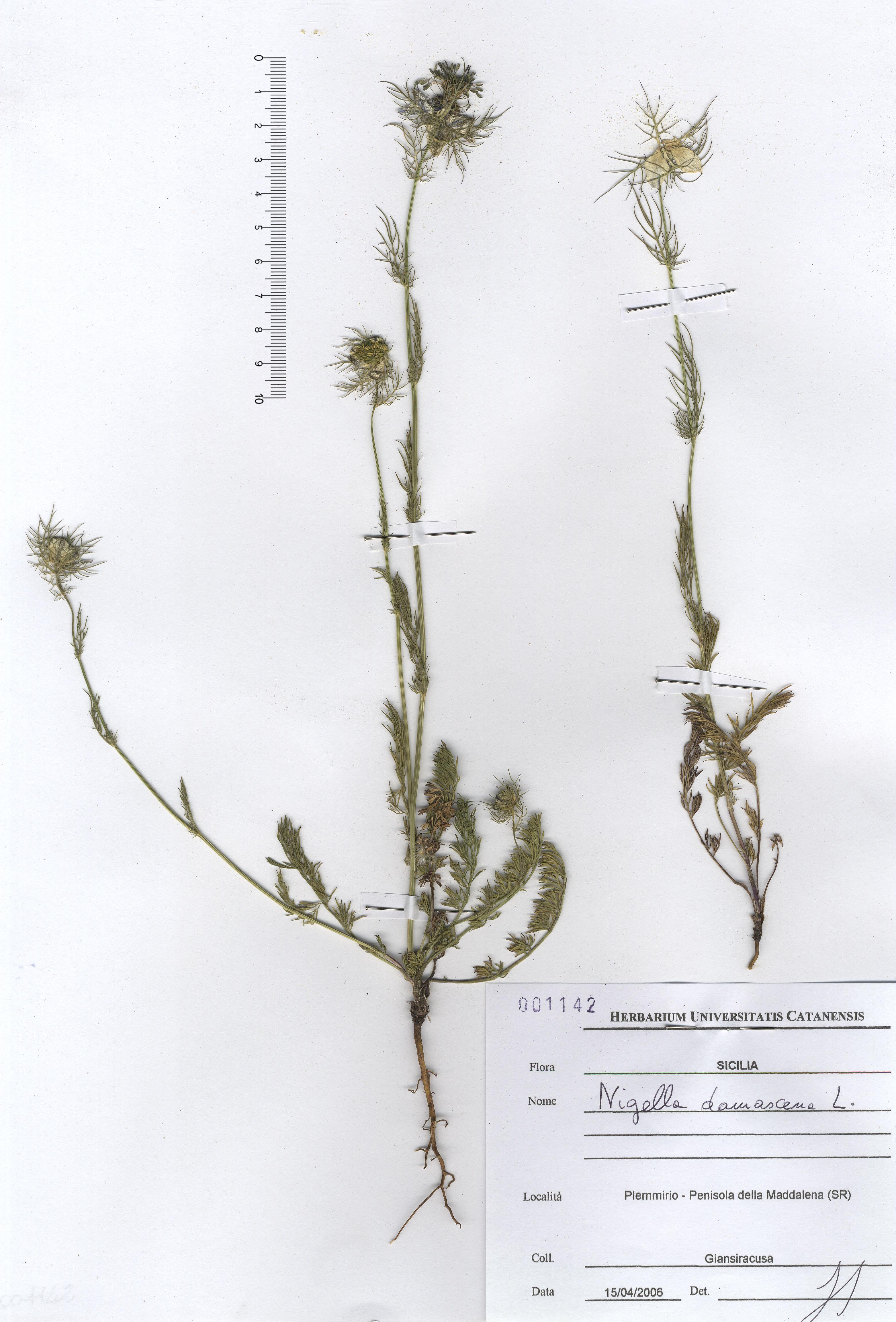 © Hortus Botanicus Catinensis - Herb. sheet 00142<br>