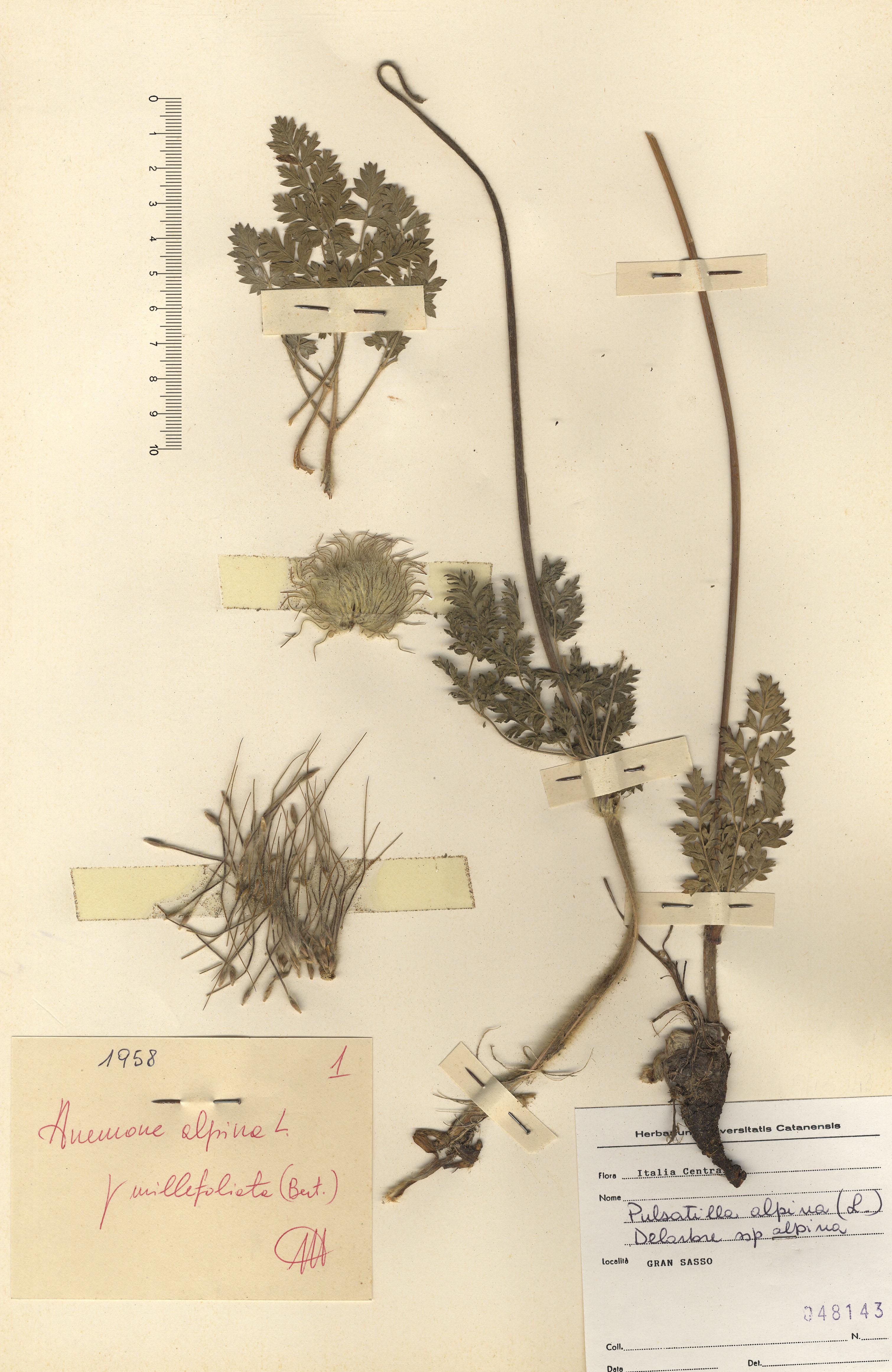 © Hortus Botanicus Catinensis - Herb. sheet 048143<br>