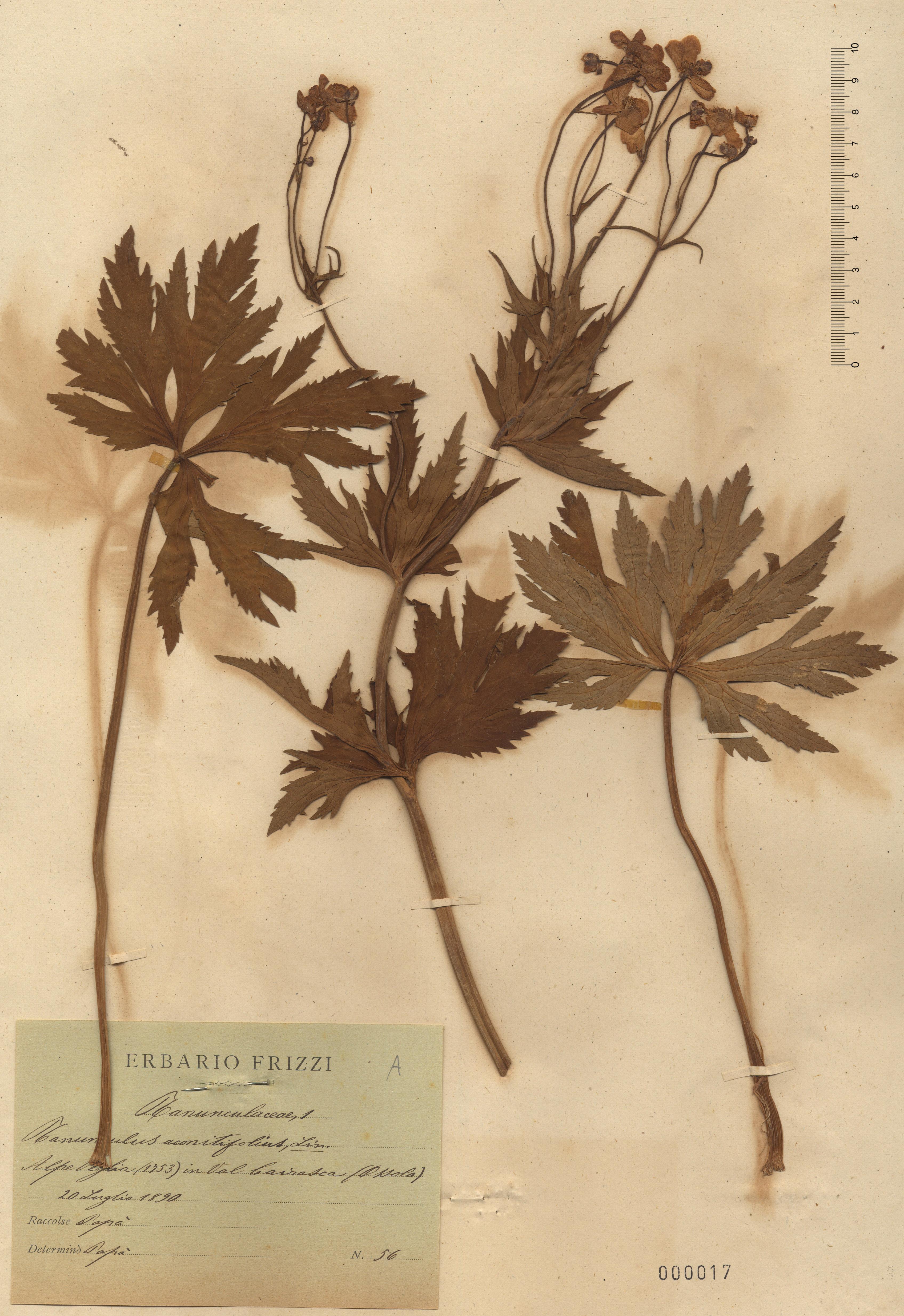 © Hortus Botanicus Catinensis - Herb. sheet 000017<br>