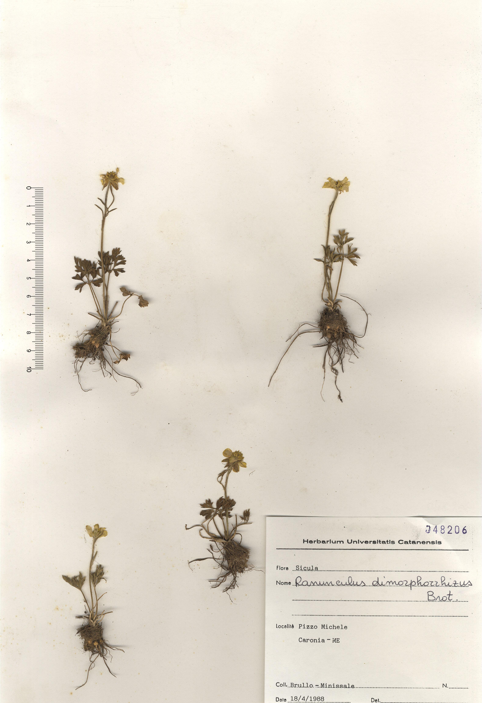© Hortus Botanicus Catinensis - Herb. sheet 004674<br>