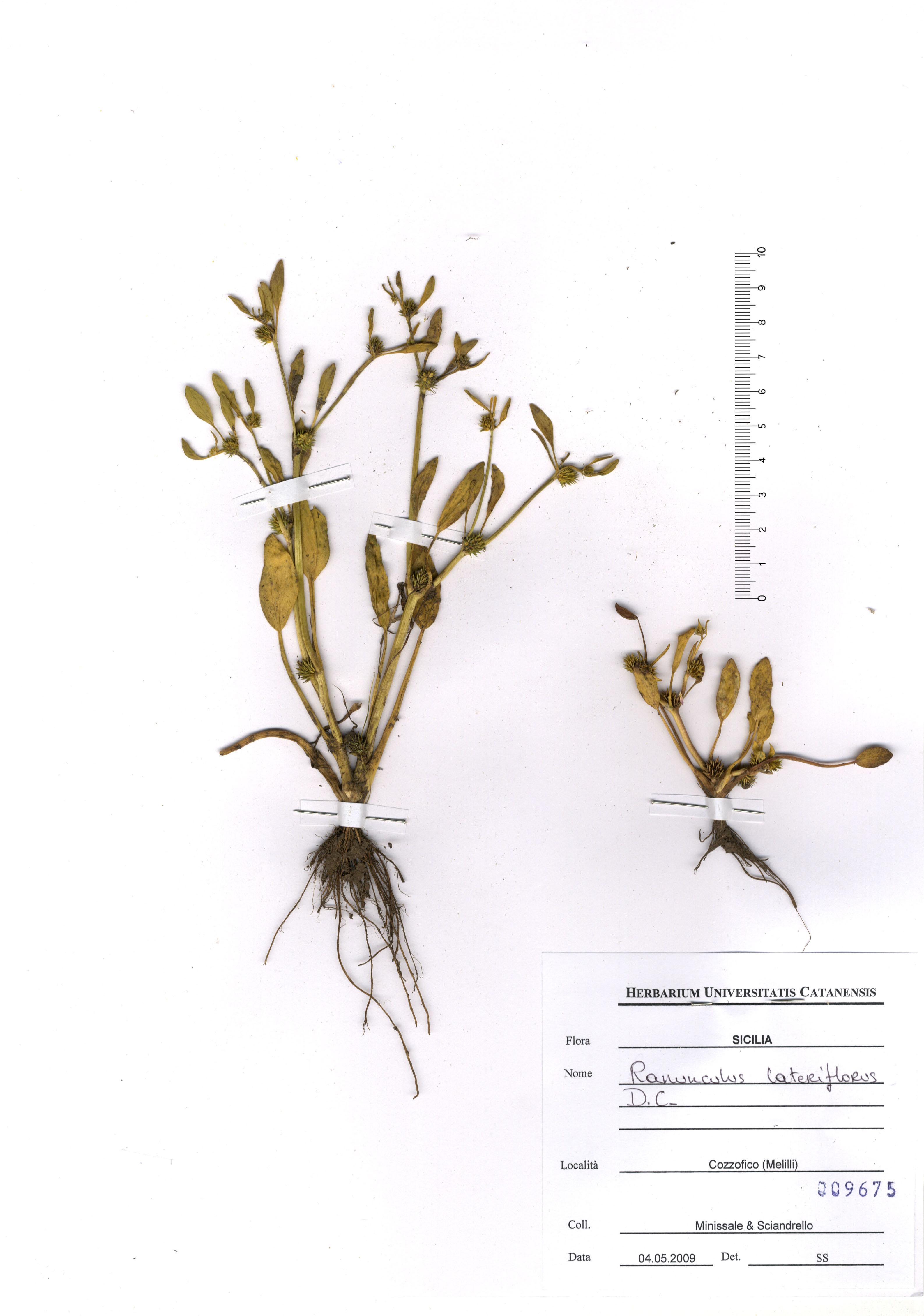 &copy; Hortus Botanicus Catinensis - Herb. sheet 009675<br>