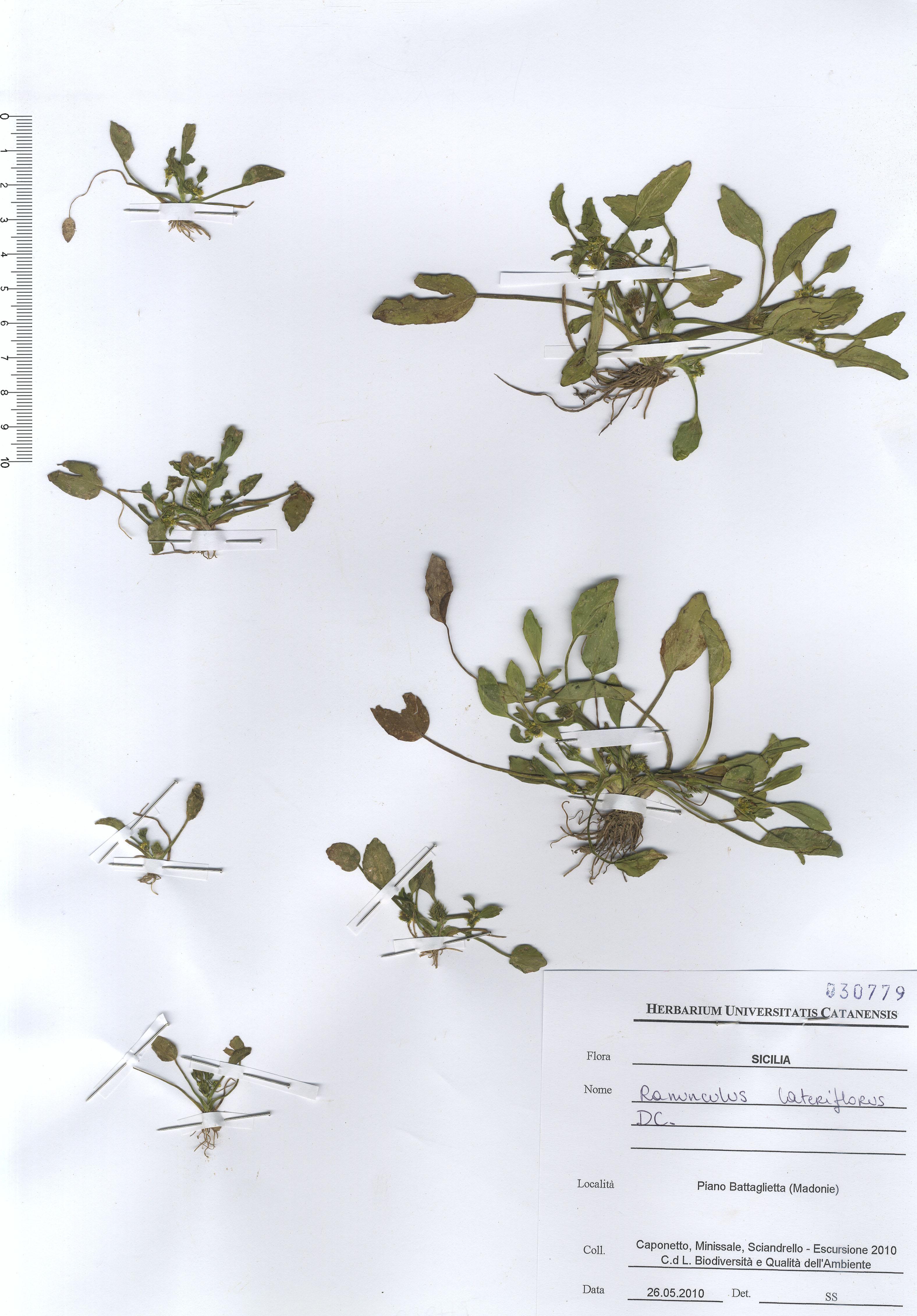 &copy; Hortus Botanicus Catinensis - Herb. sheet 030779<br>