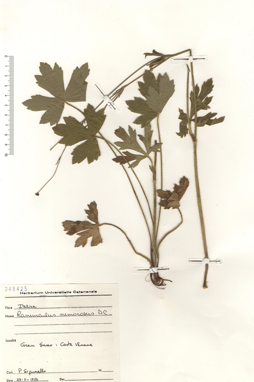 © Hortus Botanicus Catinensis - Herb. sheet 048425<br>