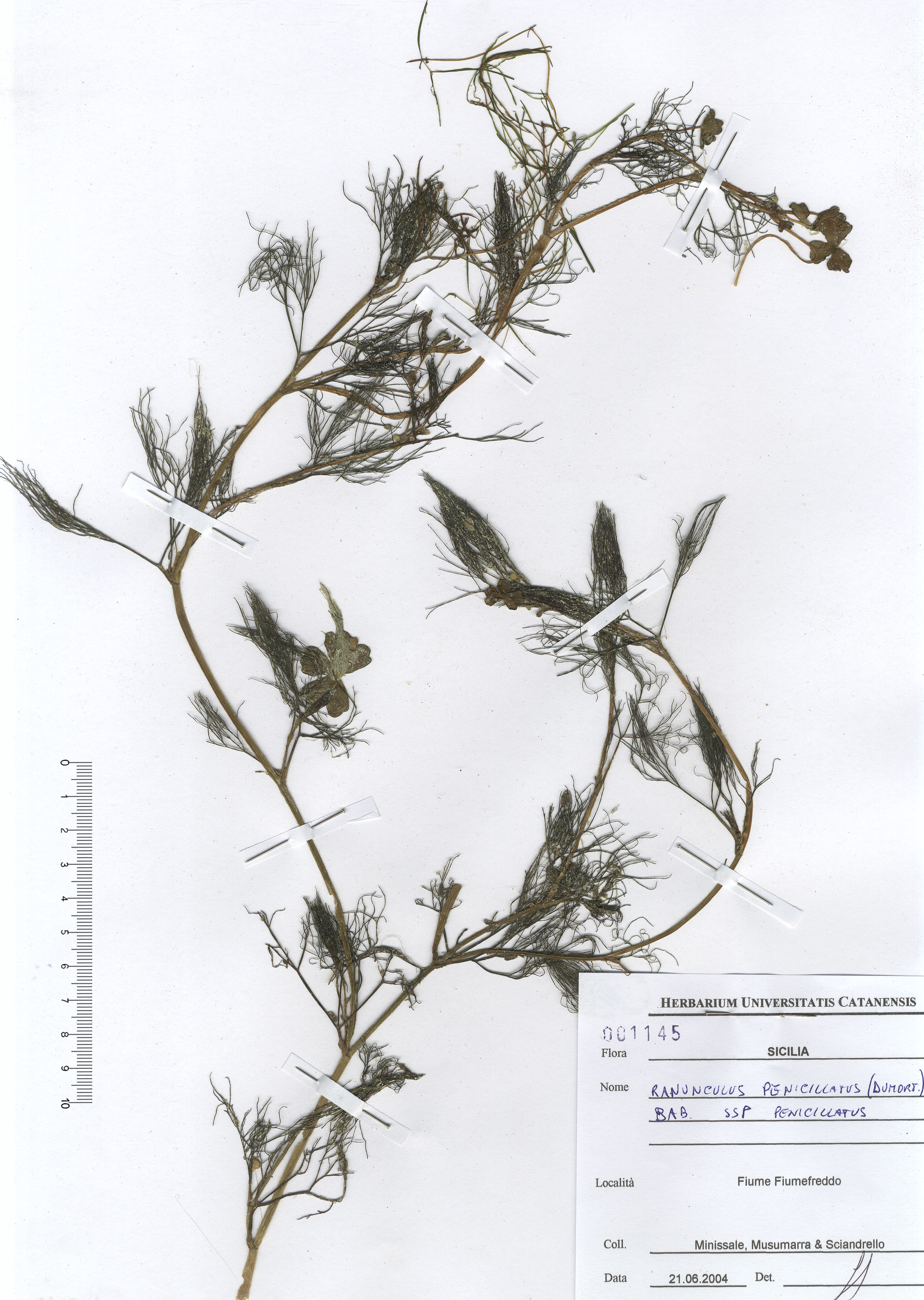 © Hortus Botanicus Catinensis - Herb. sheet 001145<br>
