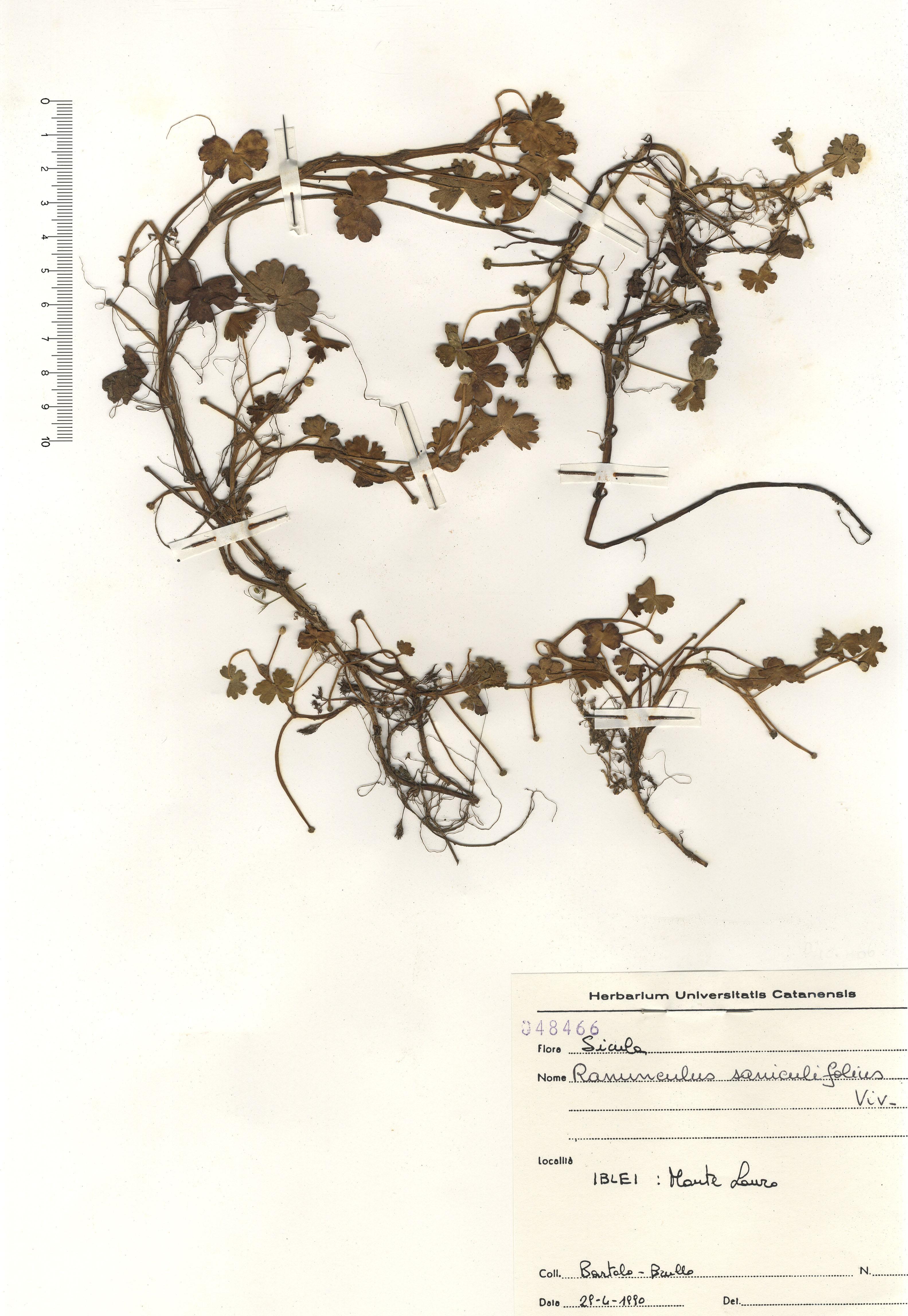 © Hortus Botanicus Catinensis - Herb. sheet 048466<br>