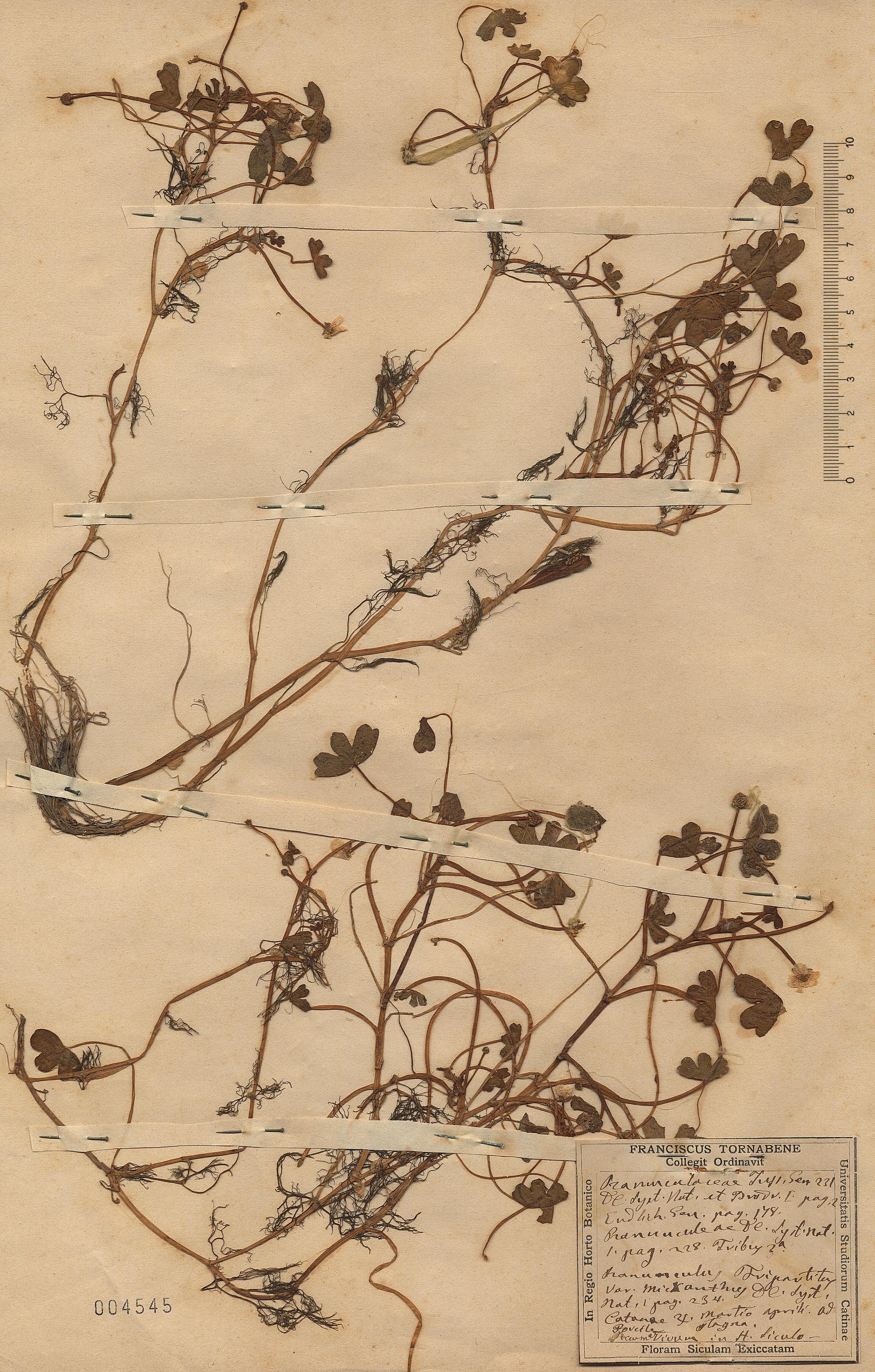 © Hortus Botanicus Catinensis - Herb. sheet 004545<br>