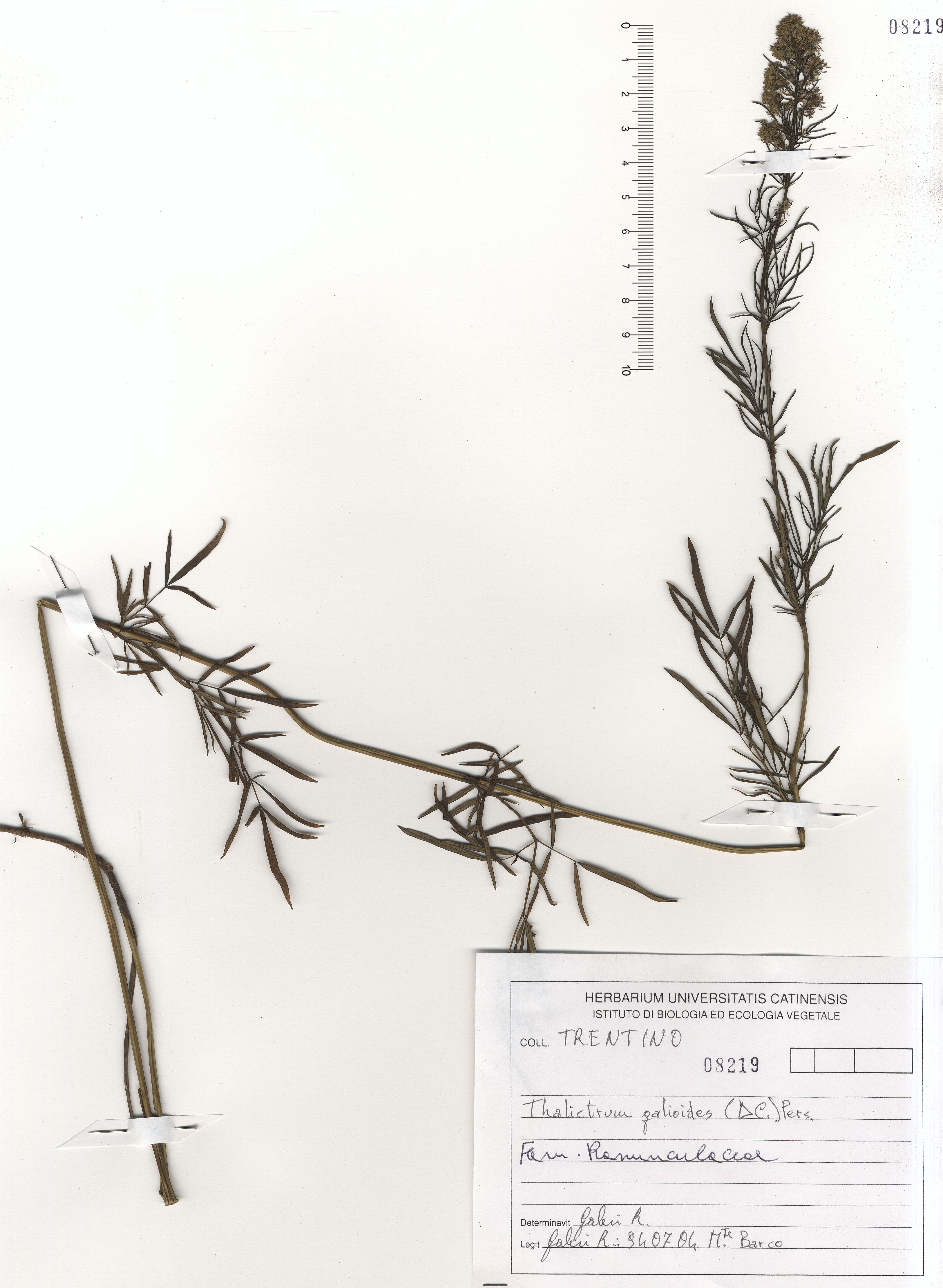 © Hortus Botanicus Catinensis - Herb. sheet 108219<br>