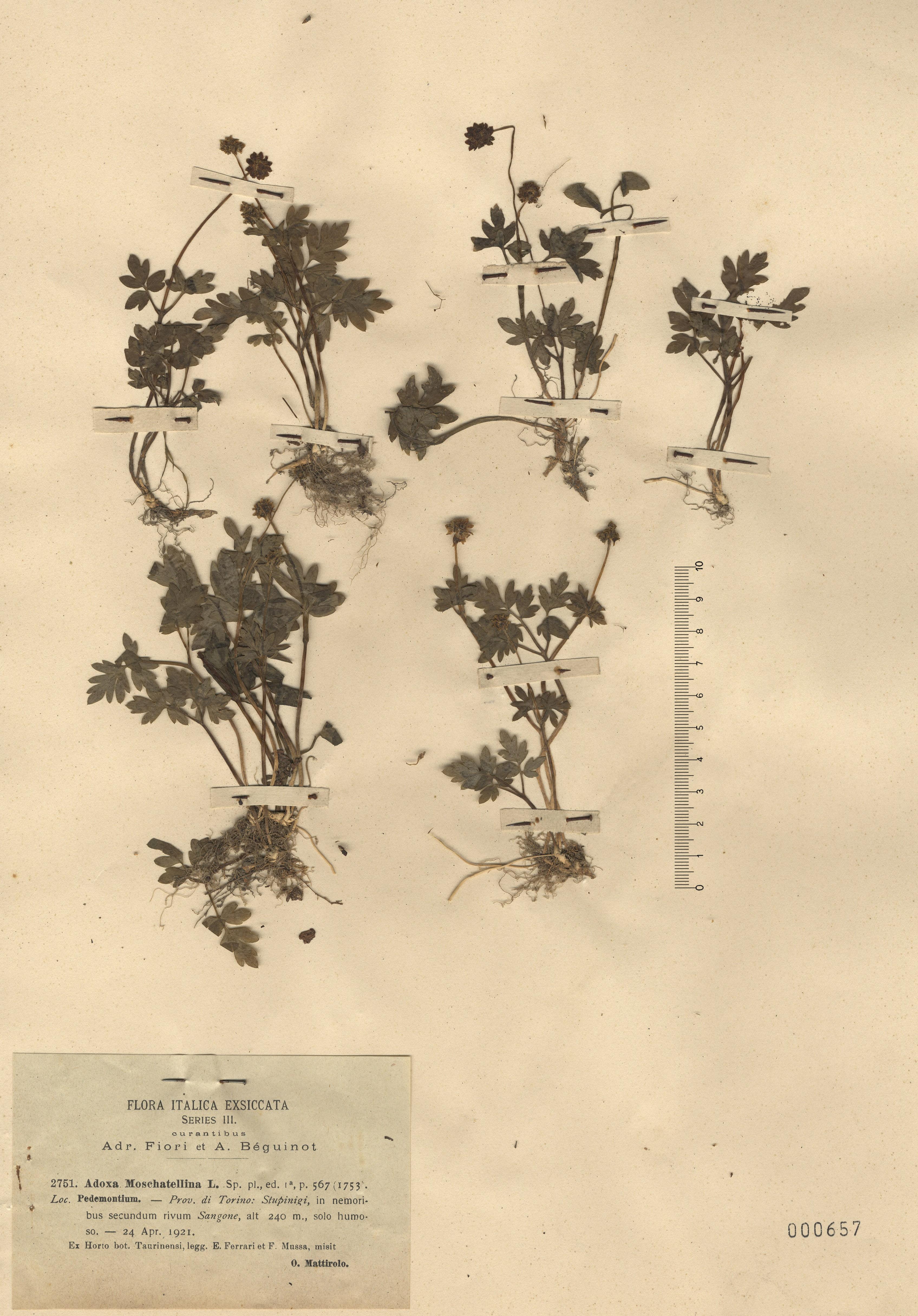 © Hortus Botanicus Catinensis - Herb. sheet 000657<br>