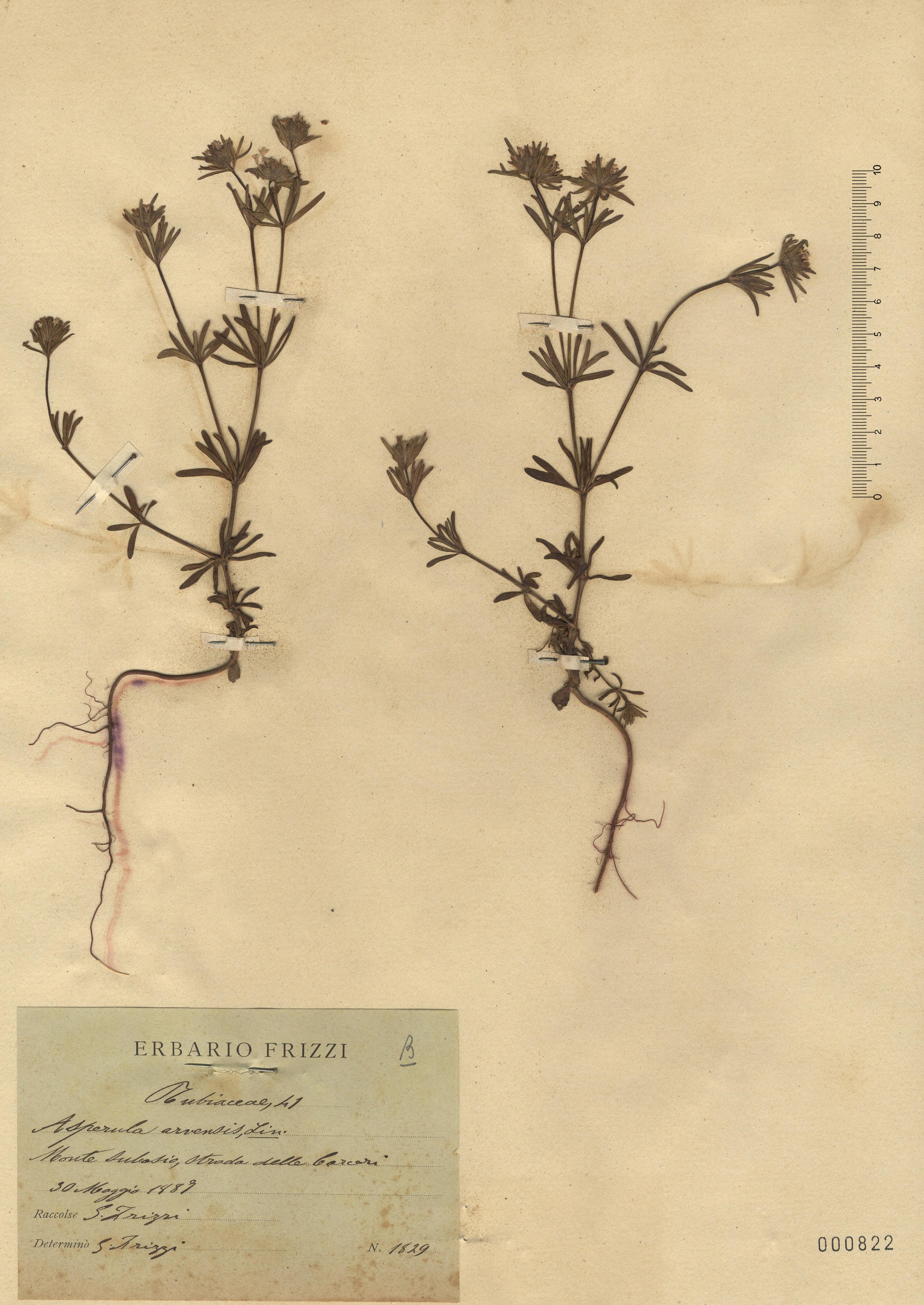 © Hortus Botanicus Catinensis - Herb. sheet 000822<br>