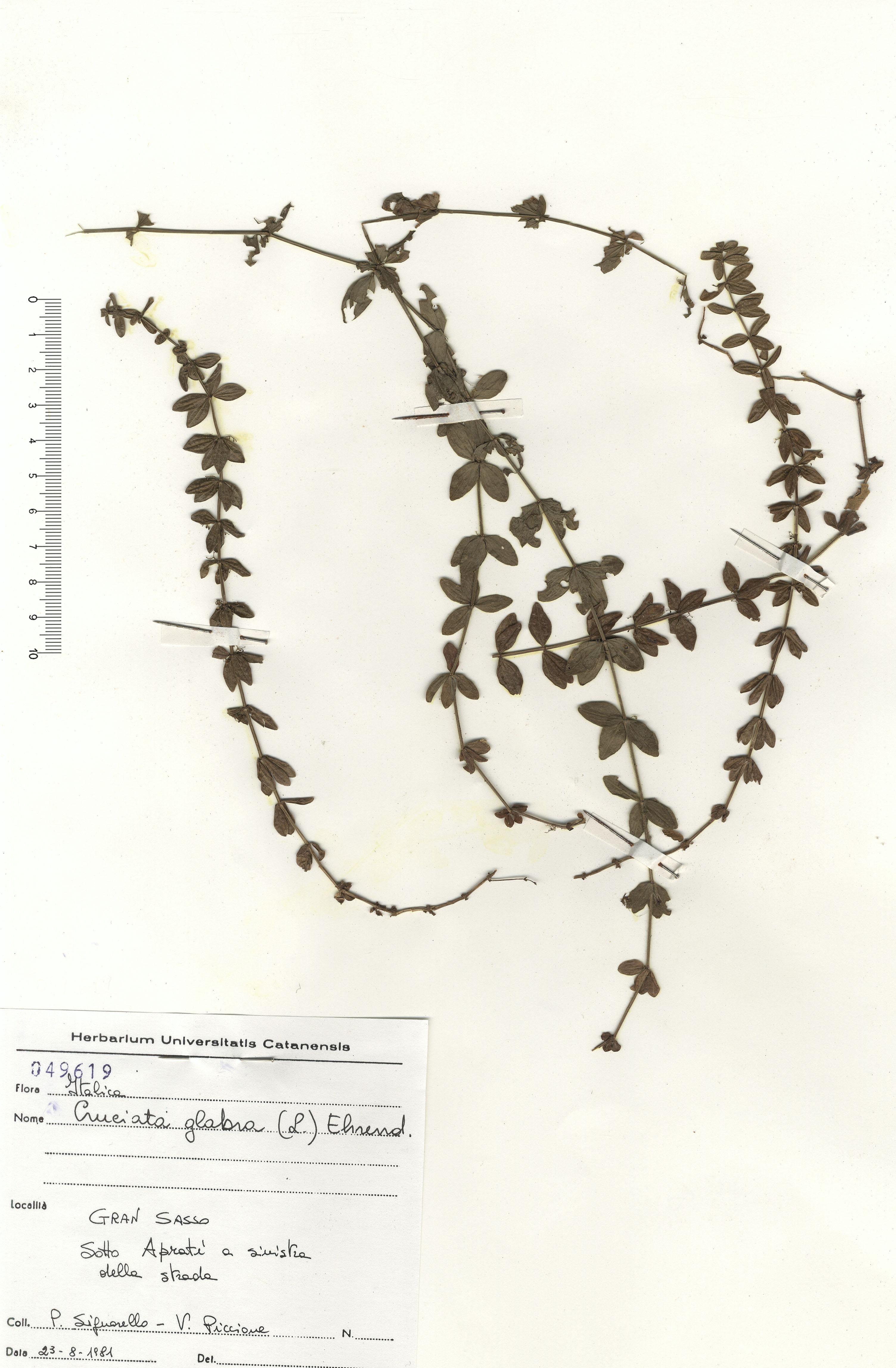 © Hortus Botanicus Catinensis - Herb. sheet 049619<br>